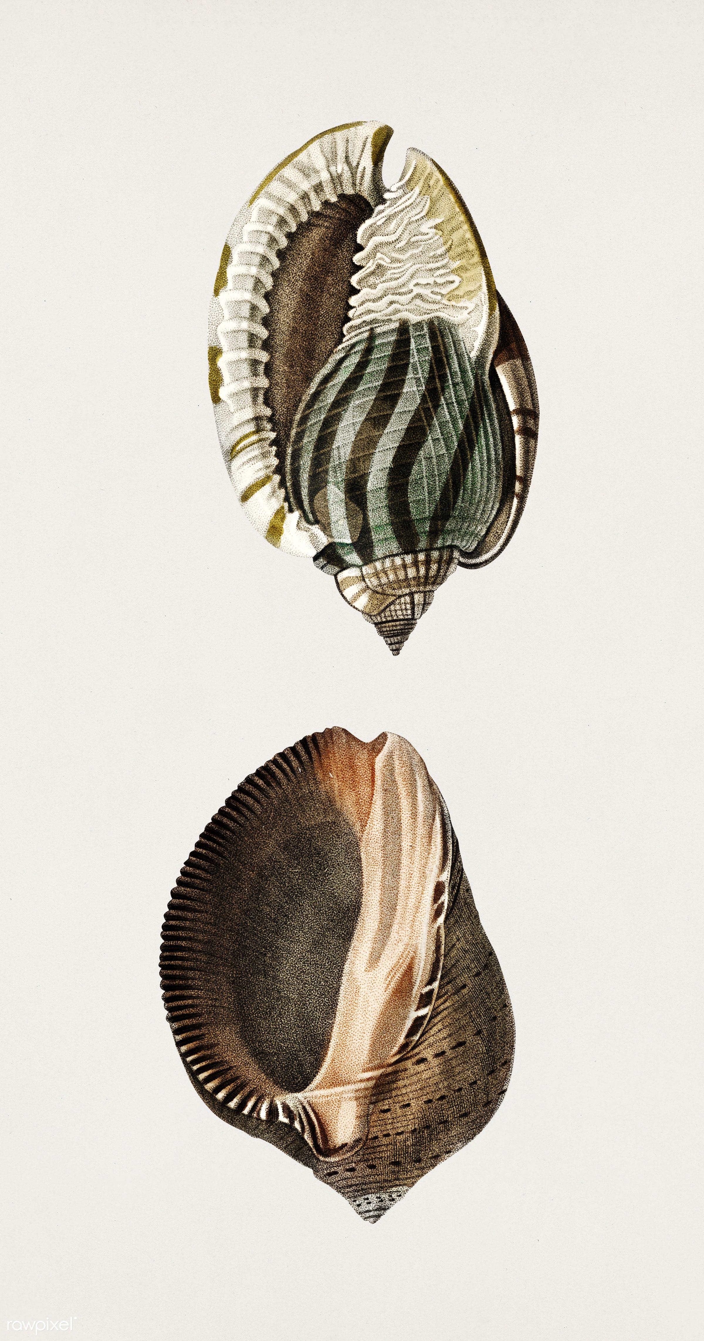 Striped bonnet (Cassis undata) and Persian purpura (Purpura persica) illustrated by Charles Dessalines D' Orbigny (1806-...