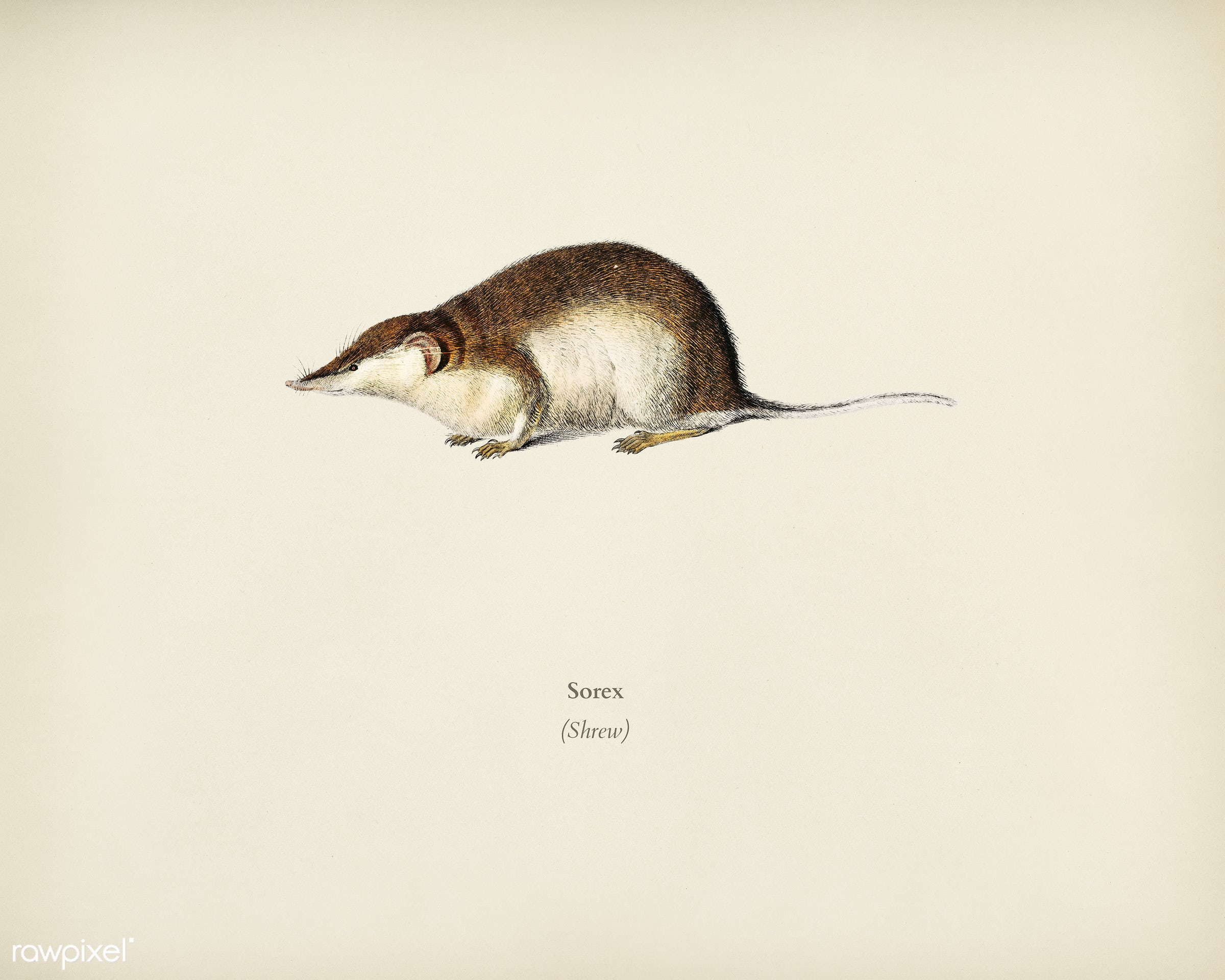 Shrew (Sorex) illustrated by Charles Dessalines D' Orbigny (1806-1876). Digitally enhanced from our own 1892 edition of...