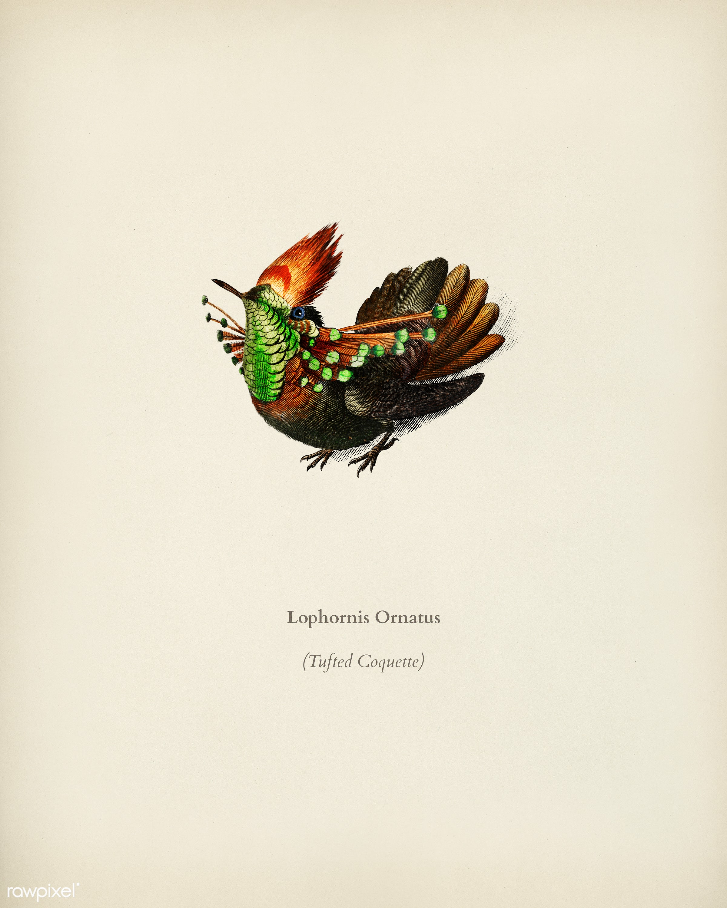 Tufted Coquette (Lophornis Ornatus) illustrated by Charles Dessalines D' Orbigny (1806-1876). Digitally enhanced from...