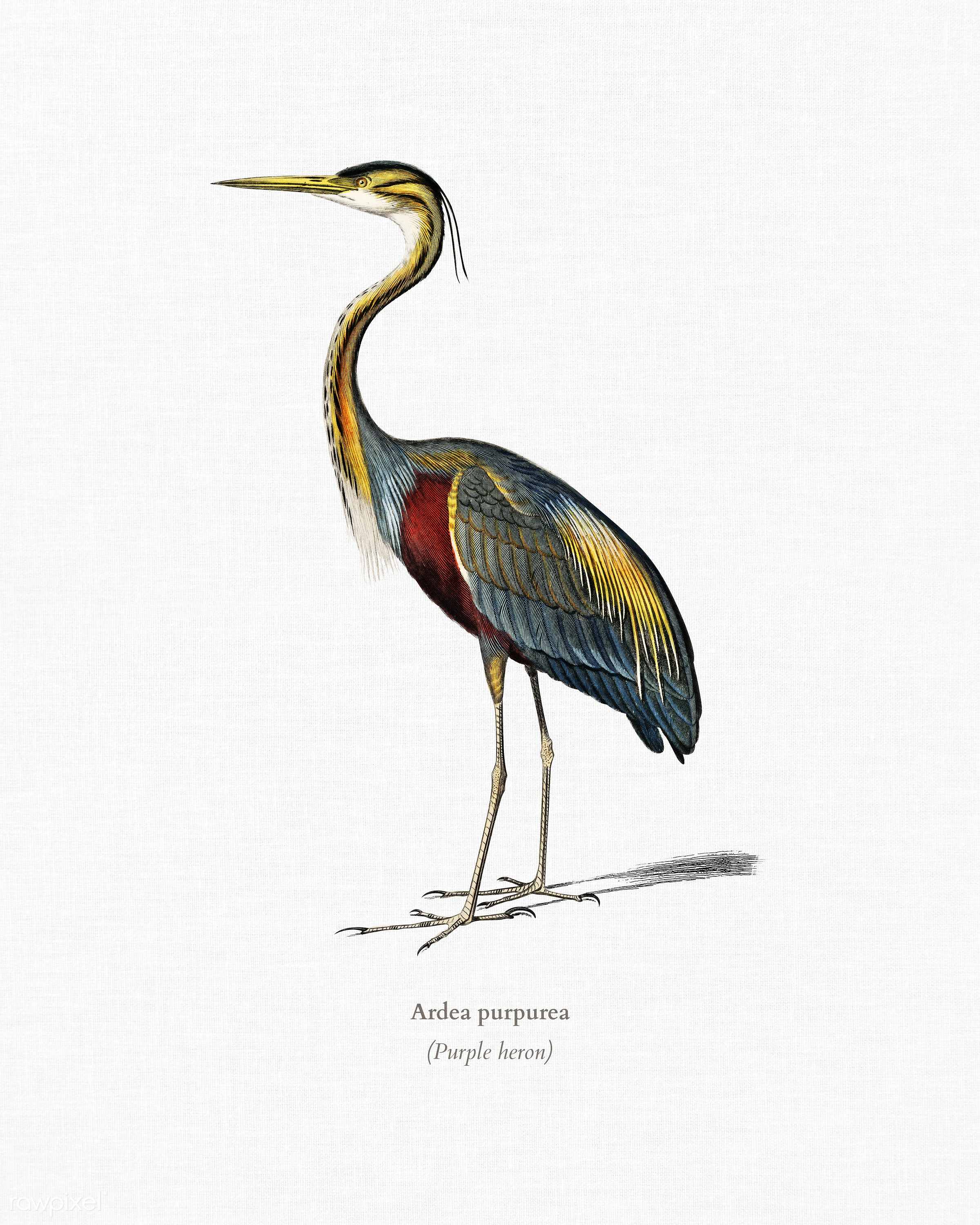 Purple heron (Ardea purpurea) illustrated by Charles Dessalines D' Orbigny (1806-1876). Digitally enhanced from our own...
