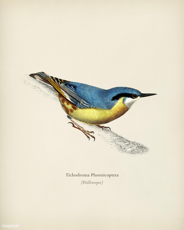 Wallcreeper (Tichodroma Phoenicoptera) illustrated by Charles Dessalines D' Orbigny (1806-1876). Digitally enhanced from...