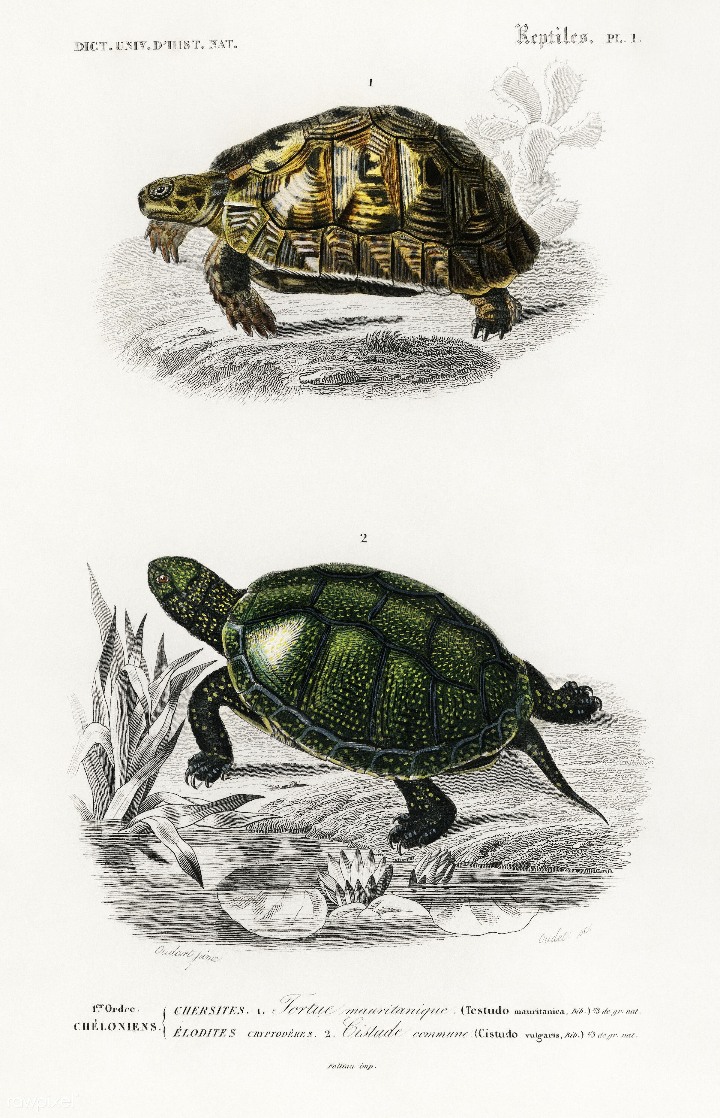 Tortoises (Testudo) and Pond turtle (Emys orbicularis) illustrated by Charles Dessalines D' Orbigny (1806-1876)....