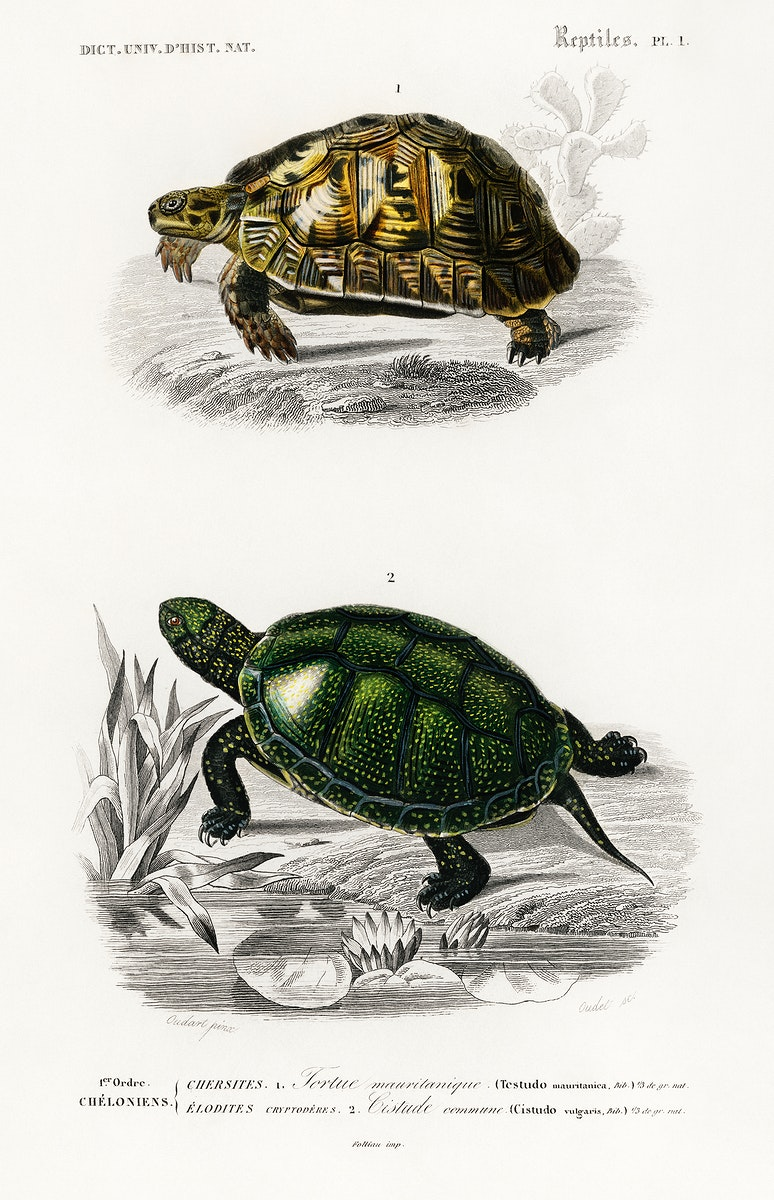 Tortoises (Testudo) and Pond turtle (Emys orbicularis) illustrated by Charles Dessalines D' Orbigny (1806-1876). Digitally…