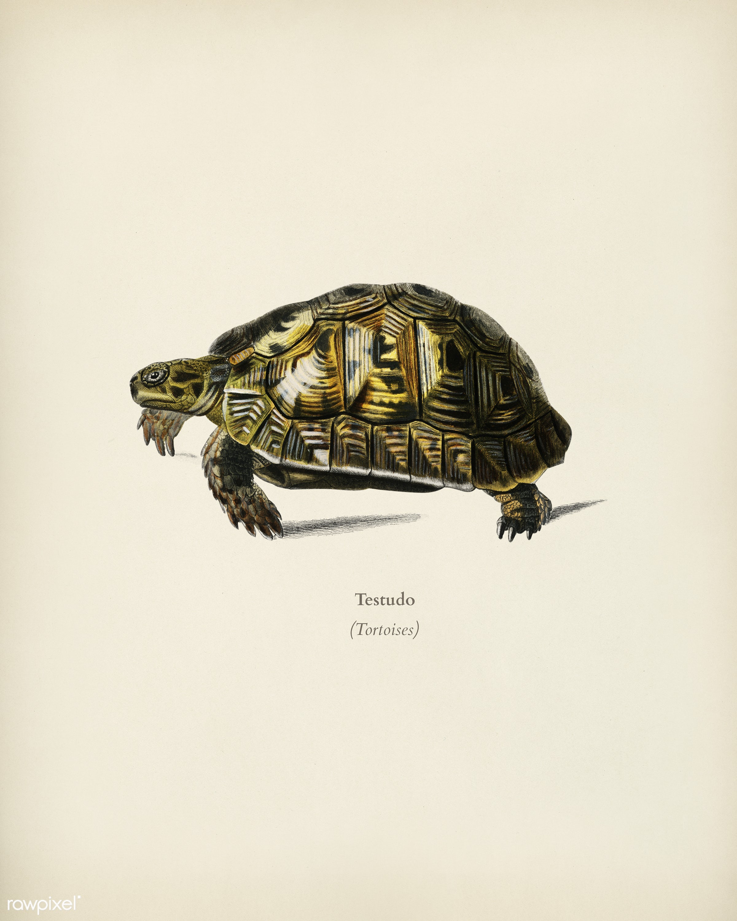 Tortoises (Testudo) illustrated by Charles Dessalines D' Orbigny (1806-1876). Digitally enhanced from our own 1892...