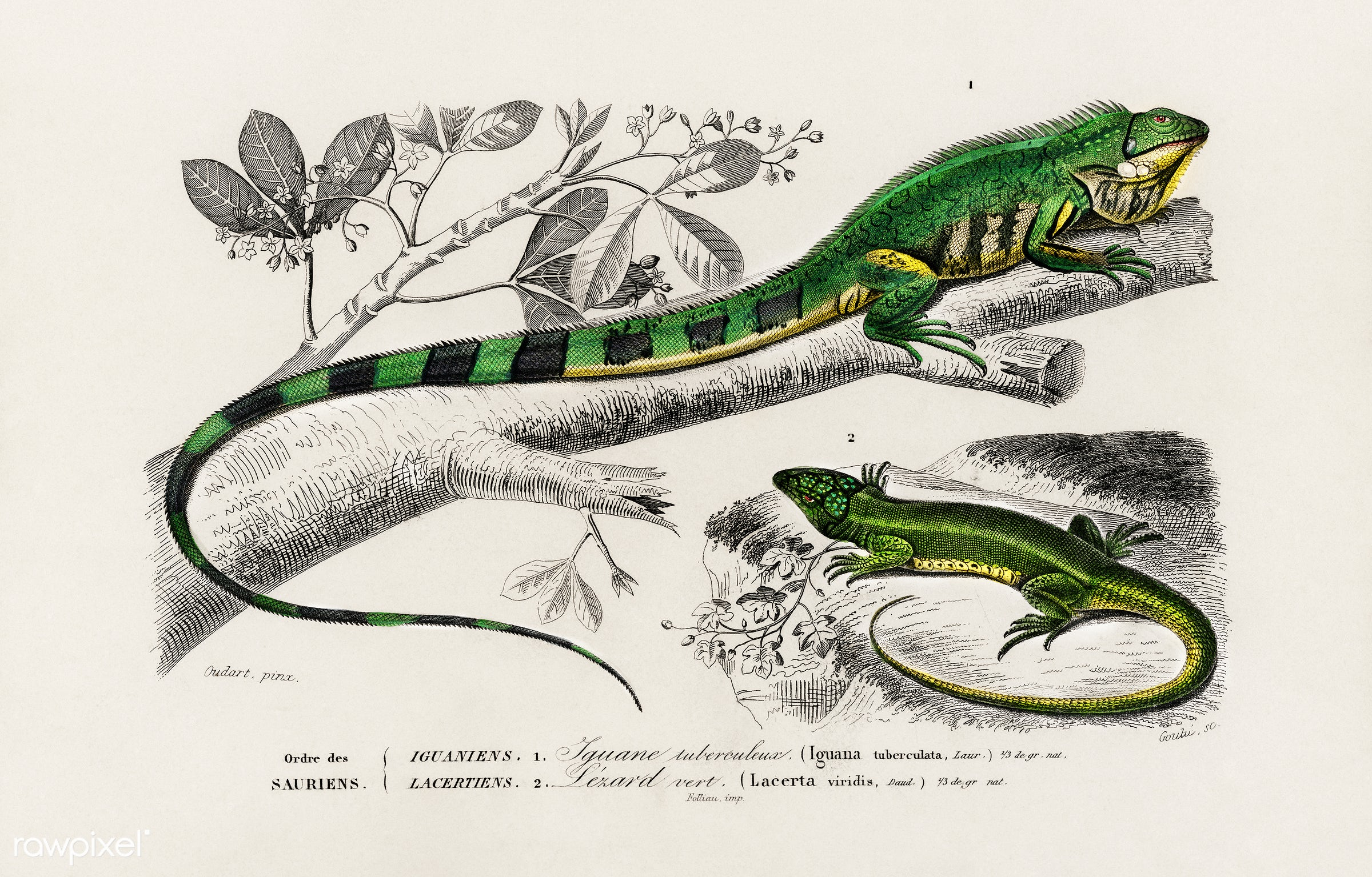 Green lizard (iguana) and Green lizard (Lacerta viridis) illustrated by Charles Dessalines D' Orbigny (1806-1876),...