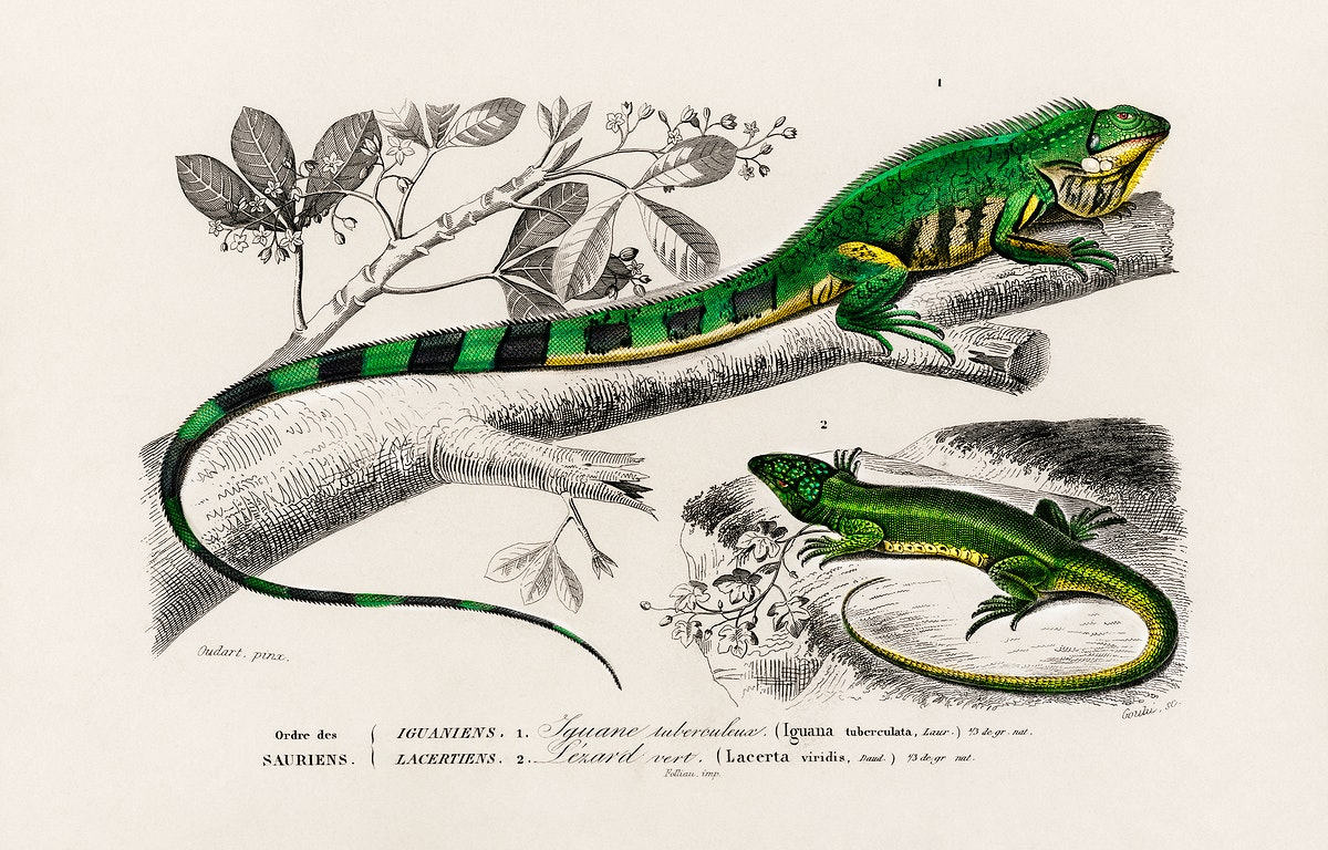 Green lizard (iguana) and Green lizard (Lacerta viridis) illustrated by Charles Dessalines D' Orbigny (1806-1876), Digitally…