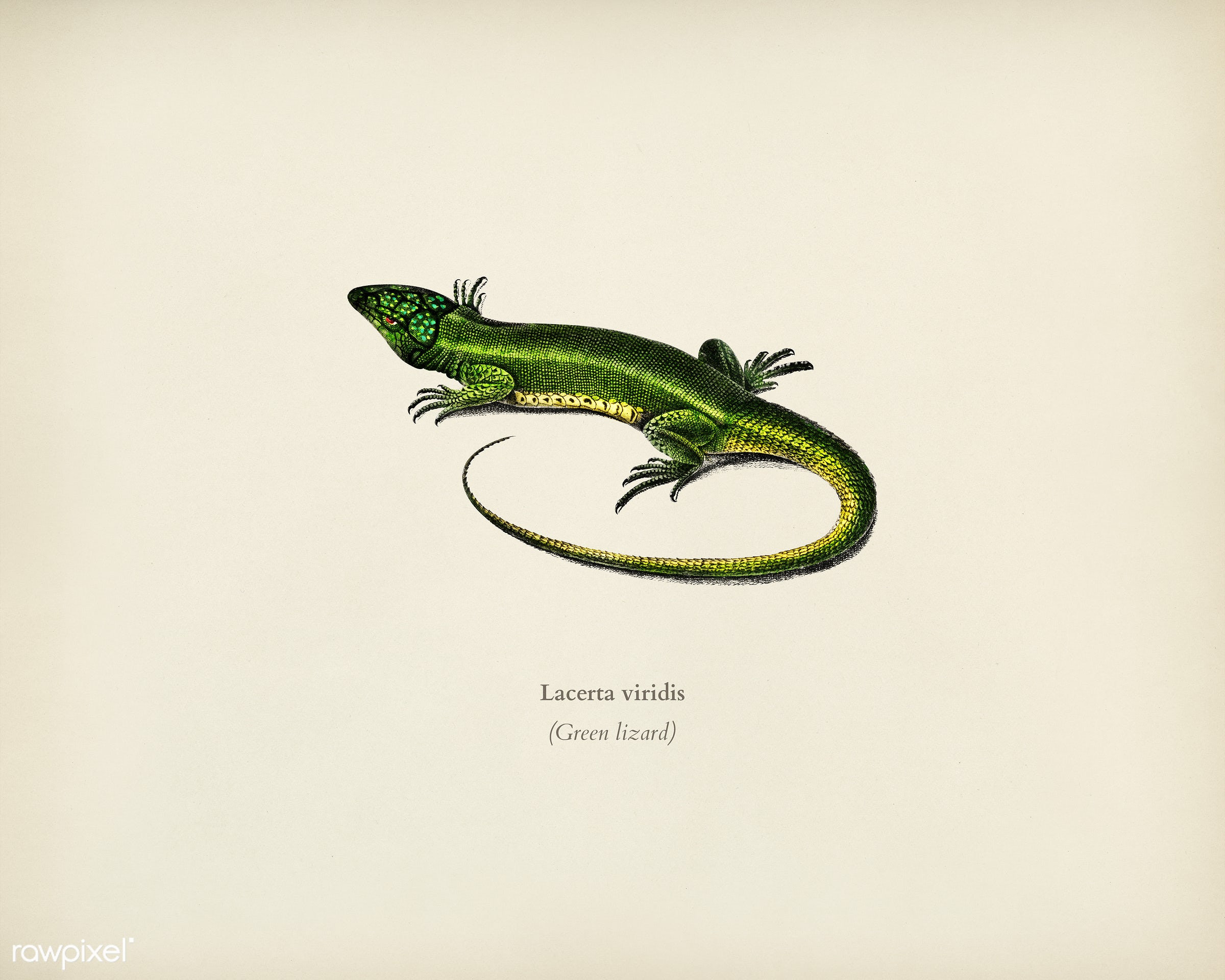 Green lizard (Lacerta viridis) illustrated by Charles Dessalines D' Orbigny (1806-1876). Digitally enhanced from our own...