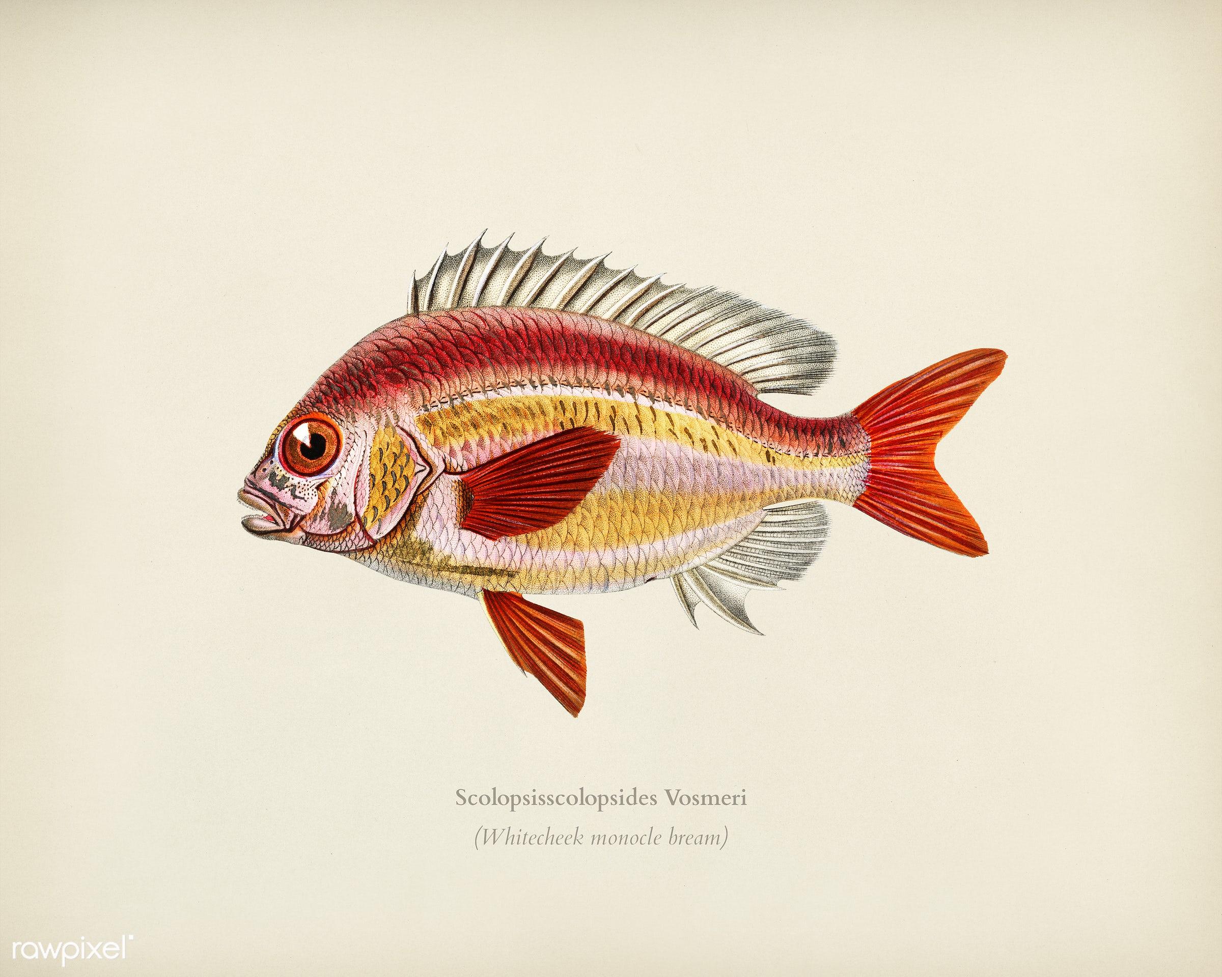 Whitecheek monocle bream (Scolopsisscolopsides Vosmeri) illustrated by Charles Dessalines D' Orbigny (1806-1876)....