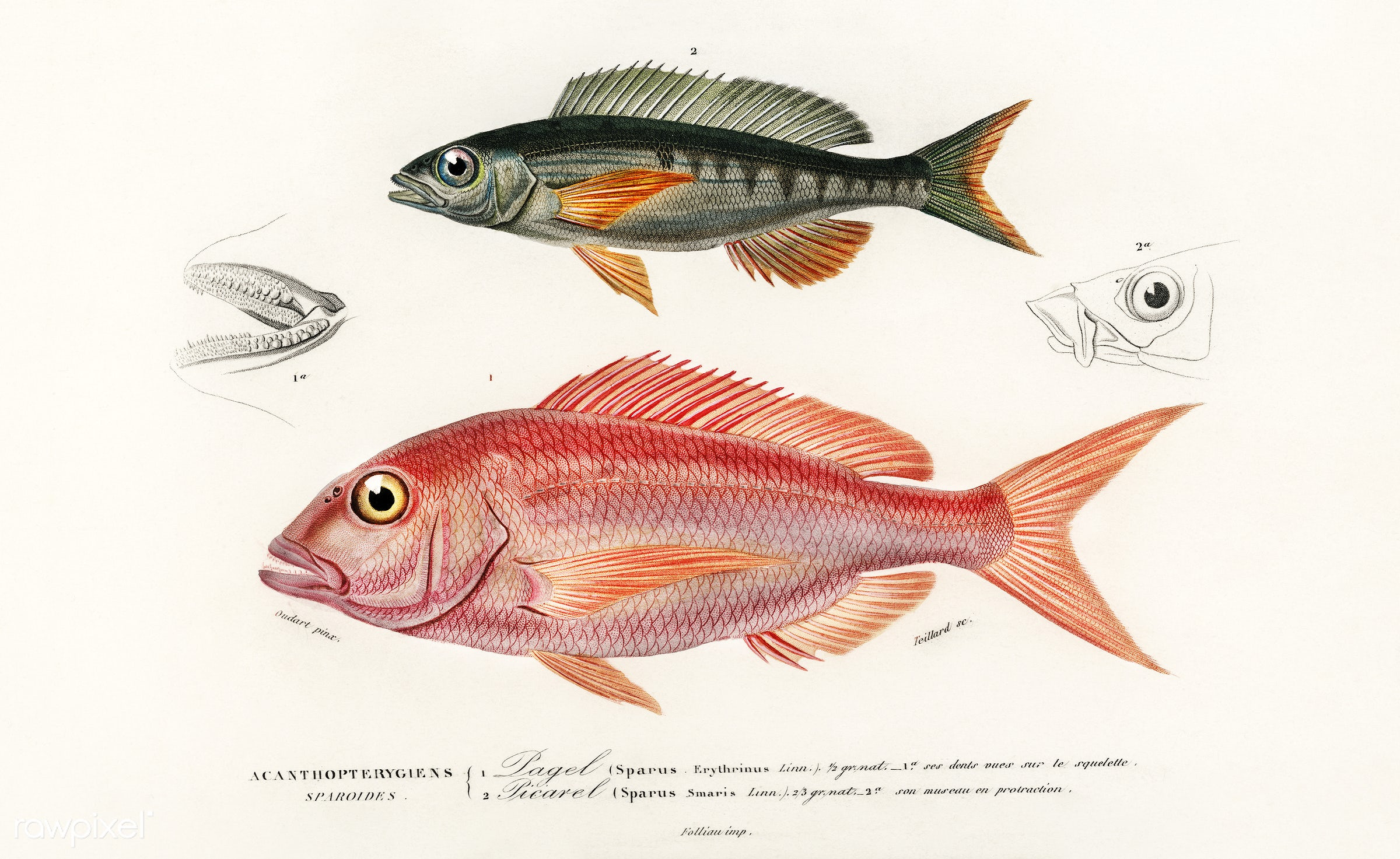 Different types of fishes illustrated by Charles Dessalines D' Orbigny (1806-1876). Digitally enhanced from our own 1892...