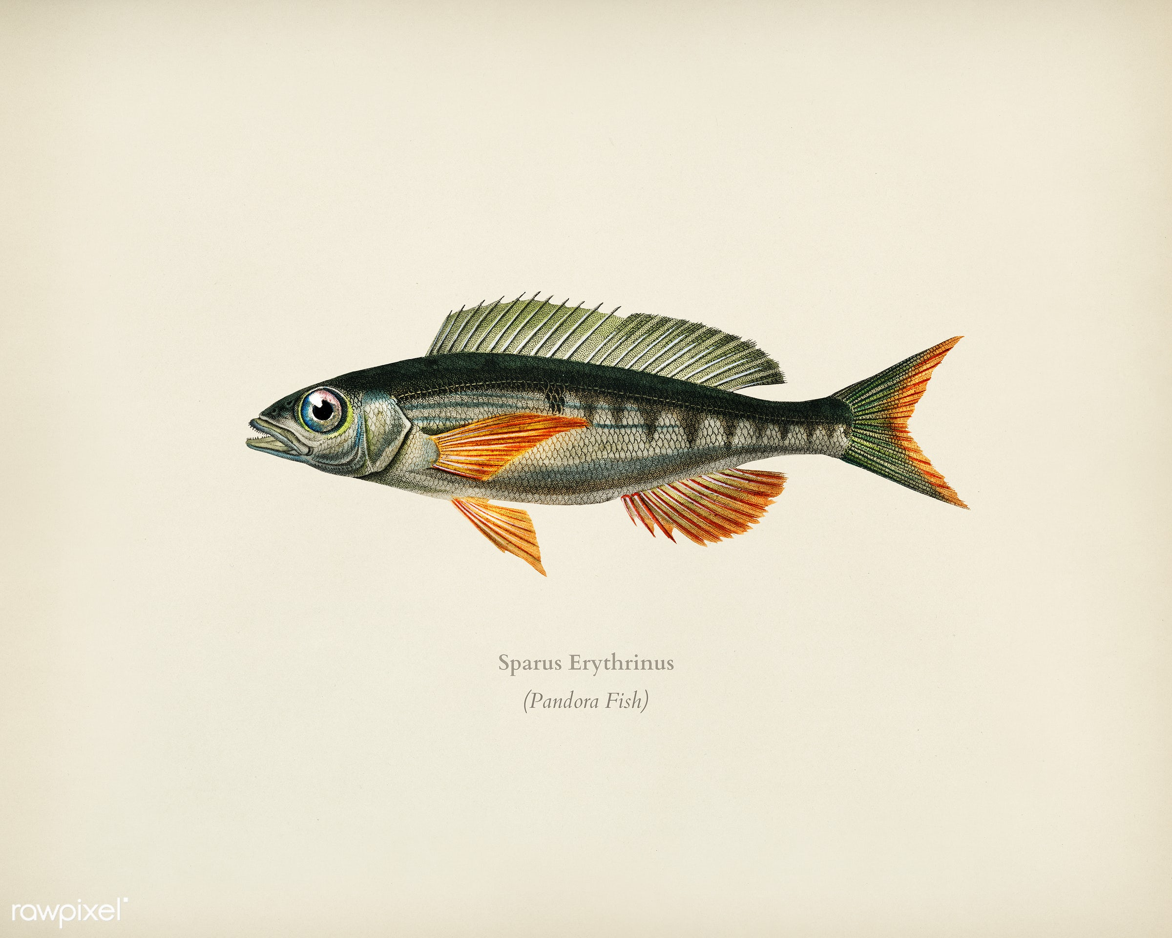 Pandoara Fish (Sparus Erthrinus) illustrated by Charles Dessalines D' Orbigny (1806-1876). Digitally enhanced from our...