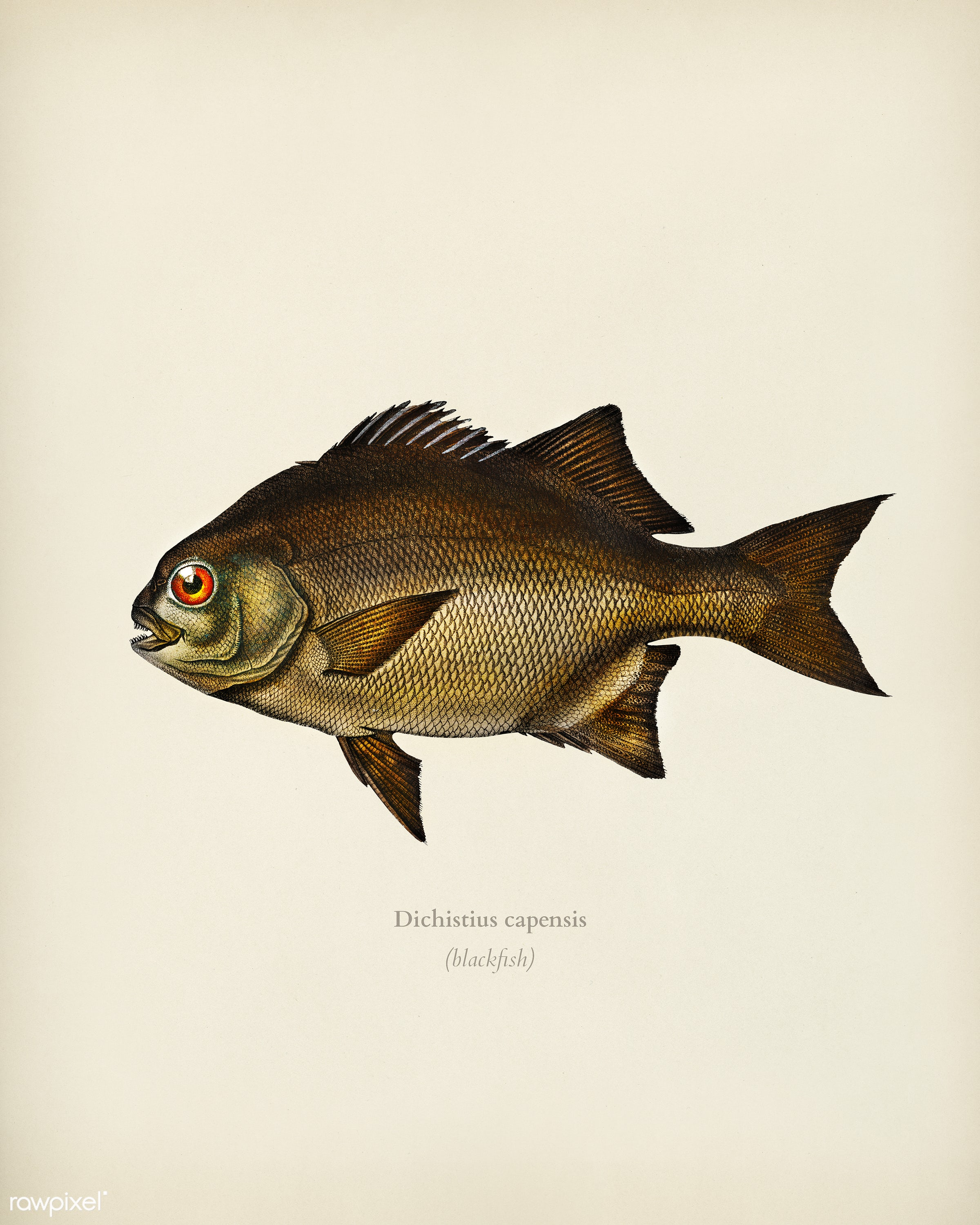 Dichistius capensis illustrated by Charles Dessalines D' Orbigny (1806-1876). Digitally enhanced from our own 1892...