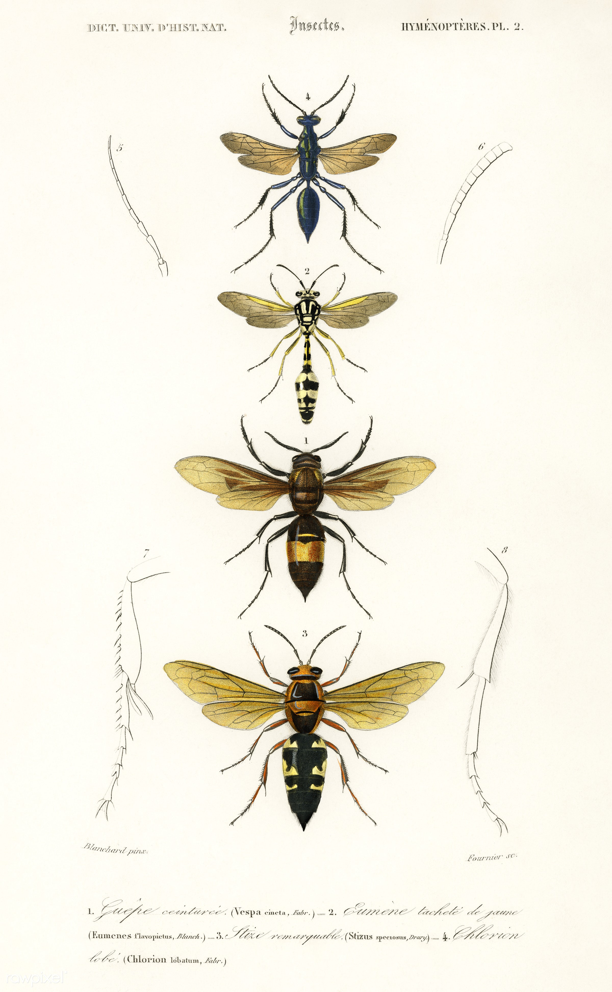 Different types of wasps illustrated by Charles Dessalines D' Orbigny (1806-1876). Digitally enhanced from our own 1892...