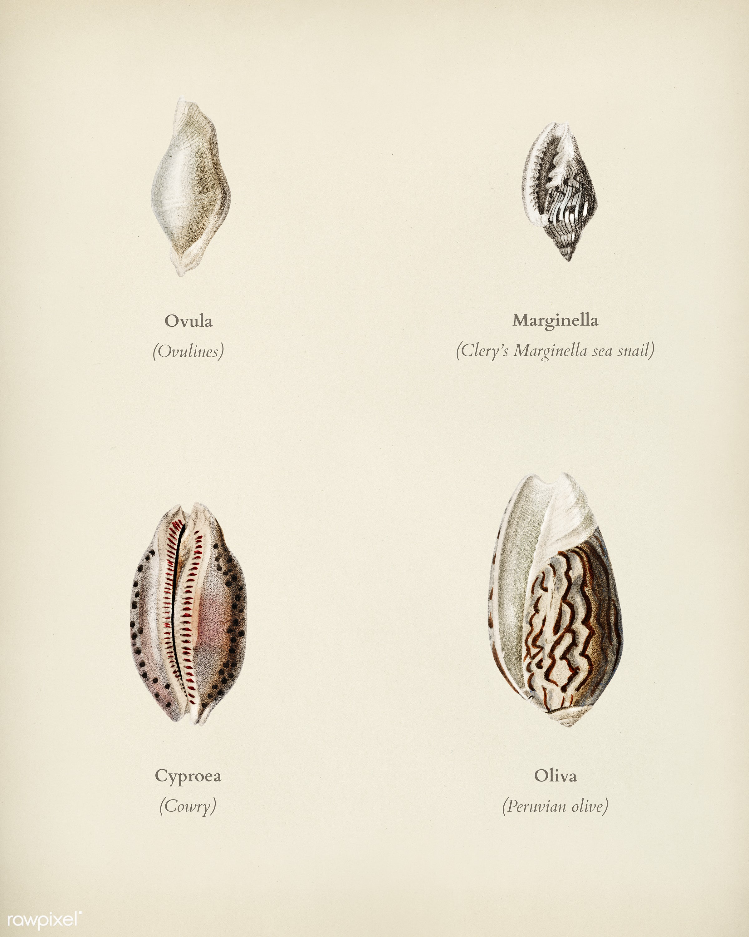Different types of mollusks illustrated by Charles Dessalines D' Orbigny (1806-1876). Digitally enhanced from our own...
