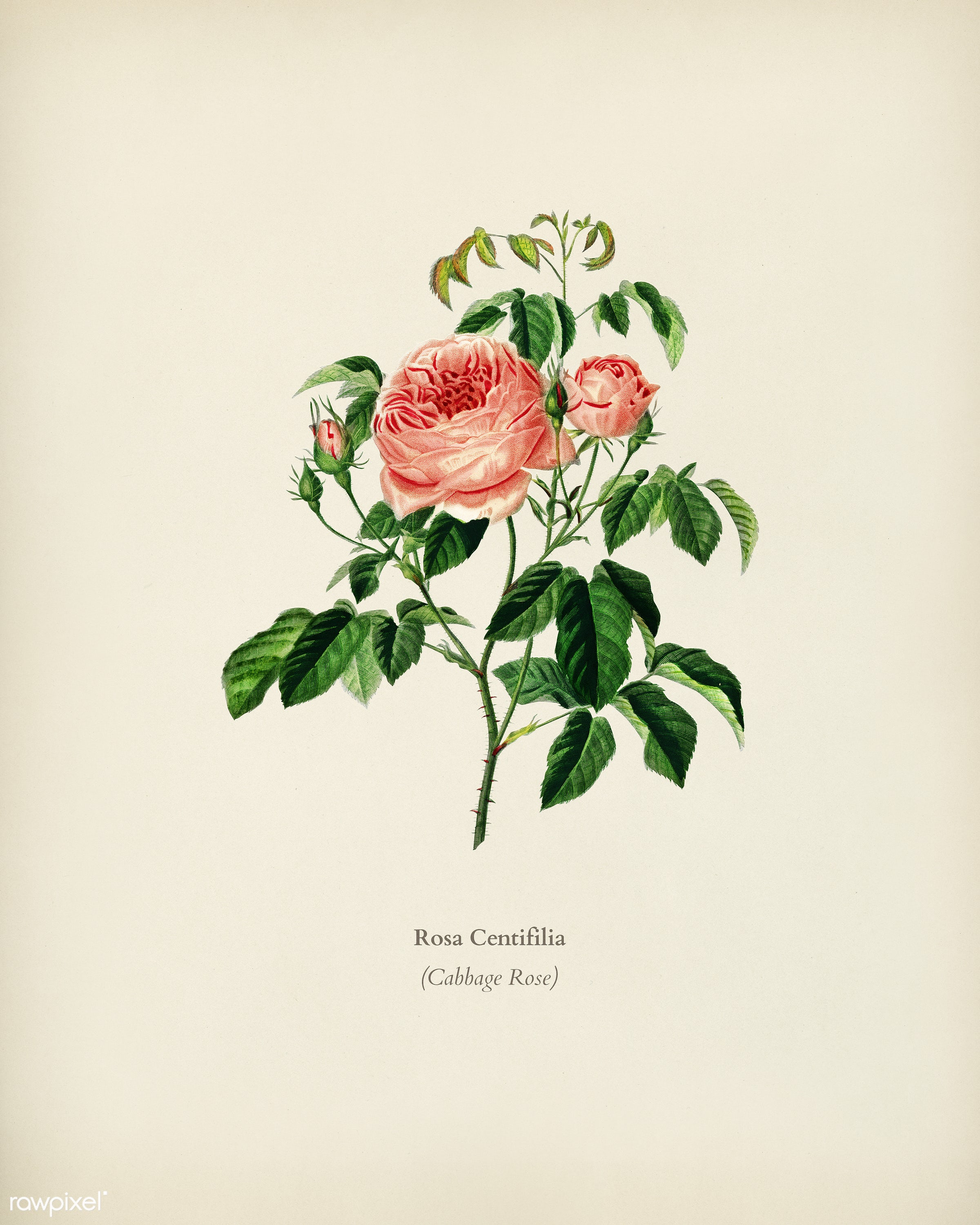 Cabbage Rose (Rosa Centifilia) illustrated by Charles Dessalines D' Orbigny (1806-1876). Digitally enhanced from our own...