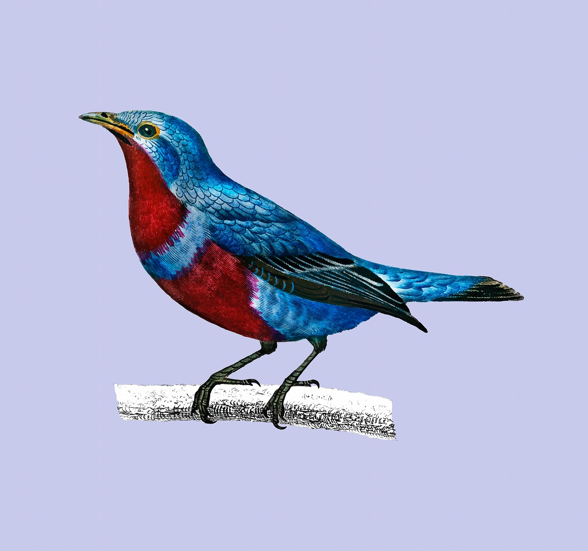 Banded cotinga (Cotinga maculata) illustrated by Charles Dessalines D' Orbigny (1806-1876). Digitally enhanced from our own…