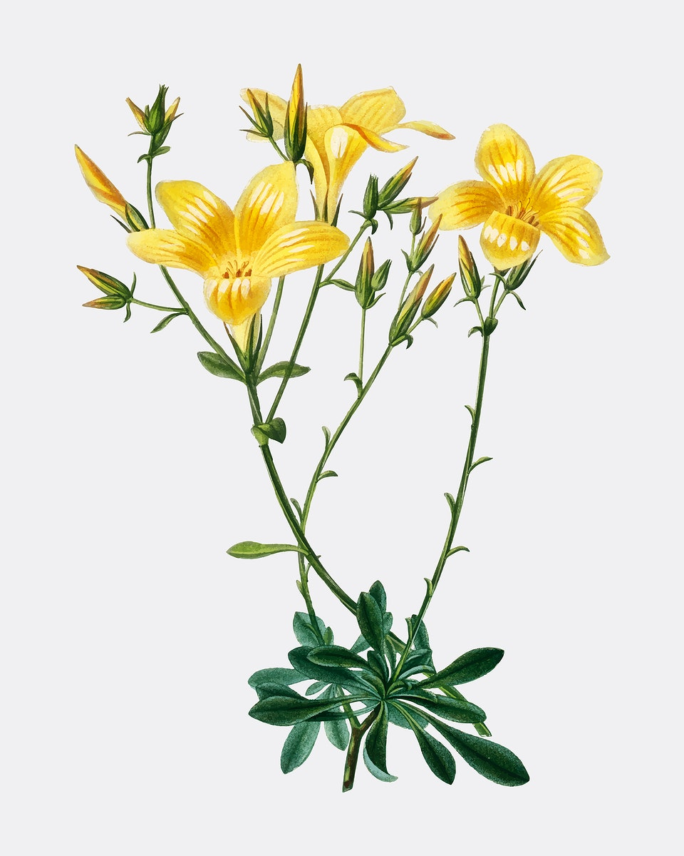 Yellow flax (Linum glandulosum) illustrated by Charles Dessalines D' Orbigny (1806-1876). Digitally enhanced from our own…