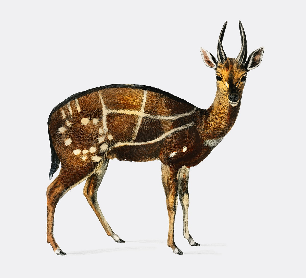 Antilope guib illustrated by Charles Dessalines D' Orbigny (1806-1876). Digitally enhanced from our own 1892 edition of…