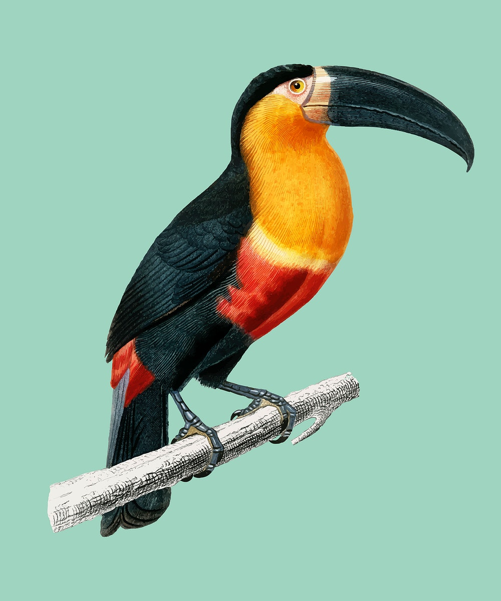 Toucan (Ramphastos) illustrated by Charles Dessalines D' Orbigny (1806-1876). Digitally enhanced from our own 1892 edition of…