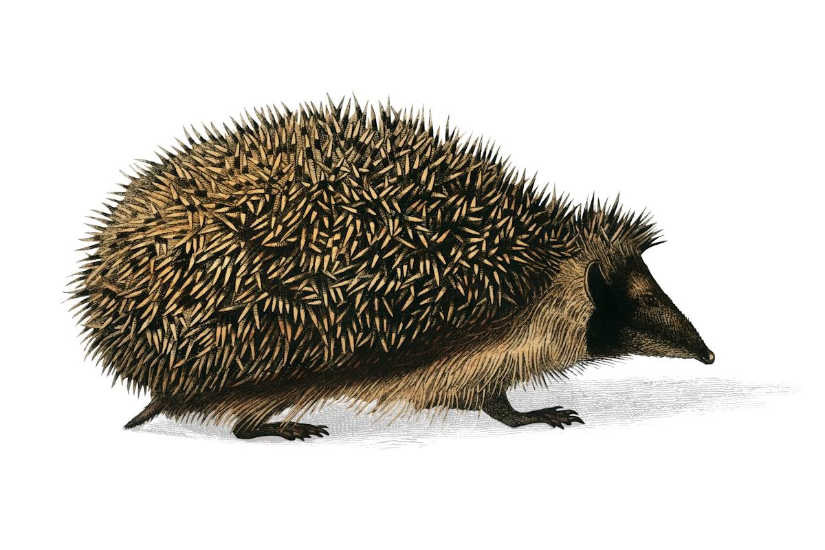 European Hedgehog (Erinaceus Europaeus) illustrated by Charles Dessalines D' Orbigny (1806-1876). Digitally enhanced from our…