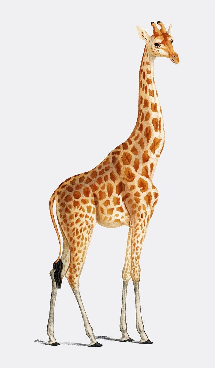 Giraffe (Giraffa camelopardalis) illustrated by Charles Dessalines D' Orbigny (1806-1876). Digitally enhanced from our own…