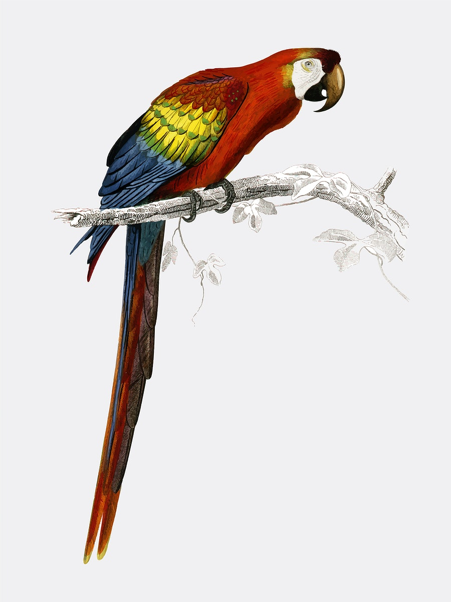 Macaw (Ara canga) illustrated by Charles Dessalines D' Orbigny (1806-1876). Digitally enhanced from our own 1892 edition of…