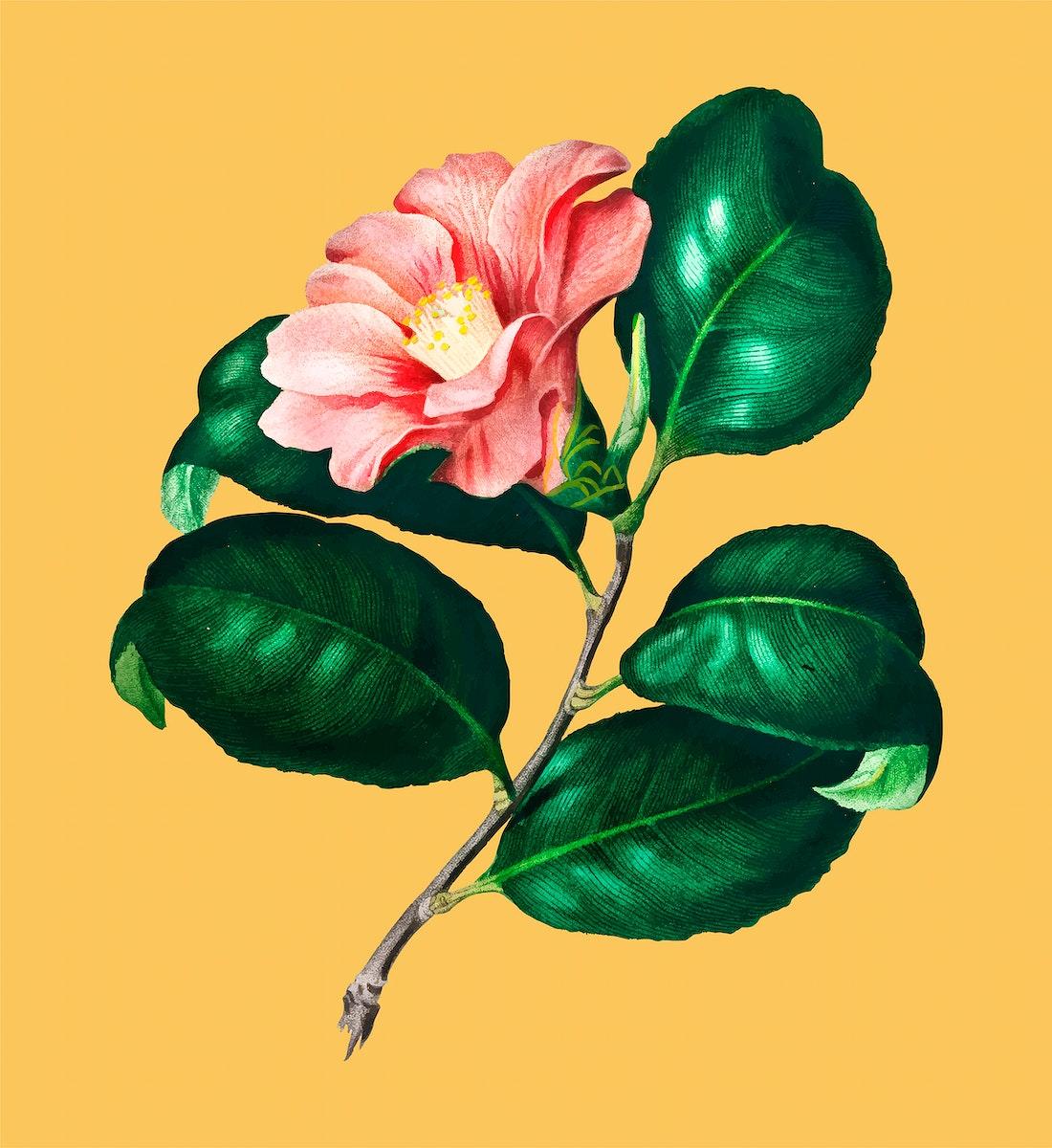 Camellia japonica (Camélia du Japon) illustrated by Charles Dessalines D' Orbigny (1806-1876). Digitally enhanced from…
