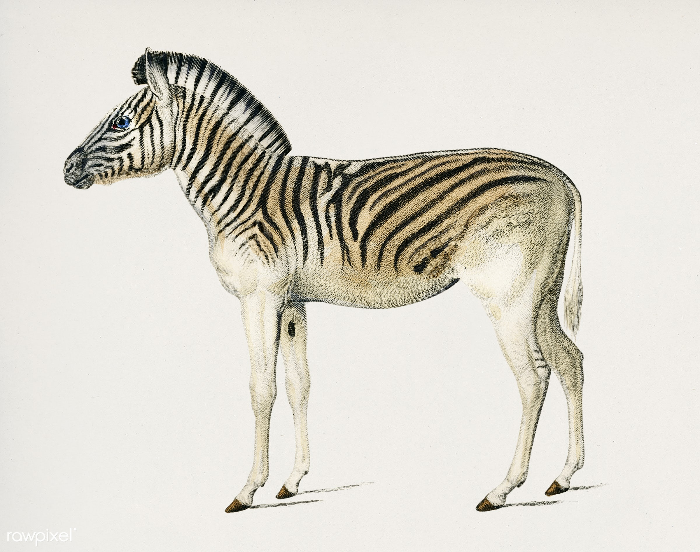 Mountain Zebra (Dauw) illustrated by Charles Dessalines D' Orbigny (1806-1876). Digitally enhanced from our own 1892...