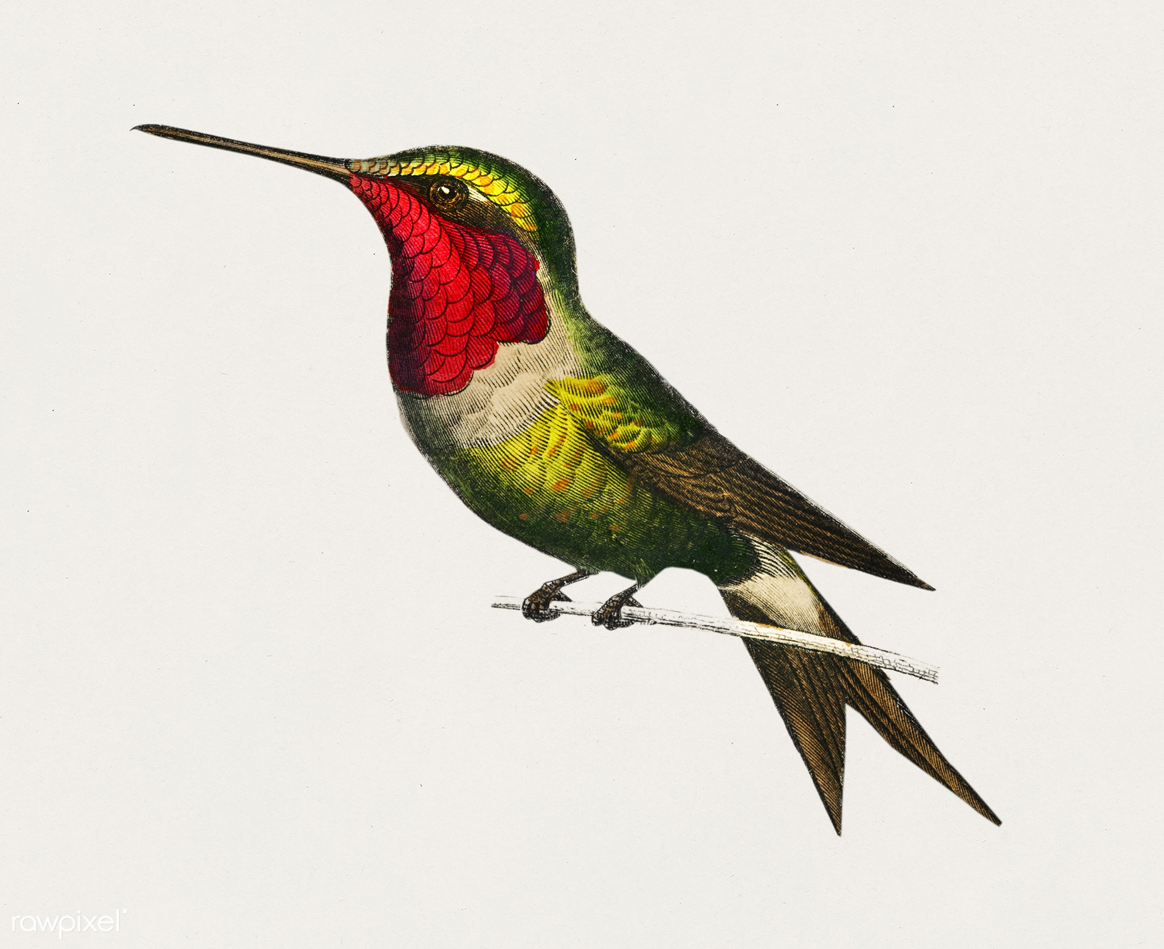 Amethyst Woodestar (Oiseau-Mouche Amethyste) illustrated by Charles Dessalines D' Orbigny (1806-1876). Digitally...