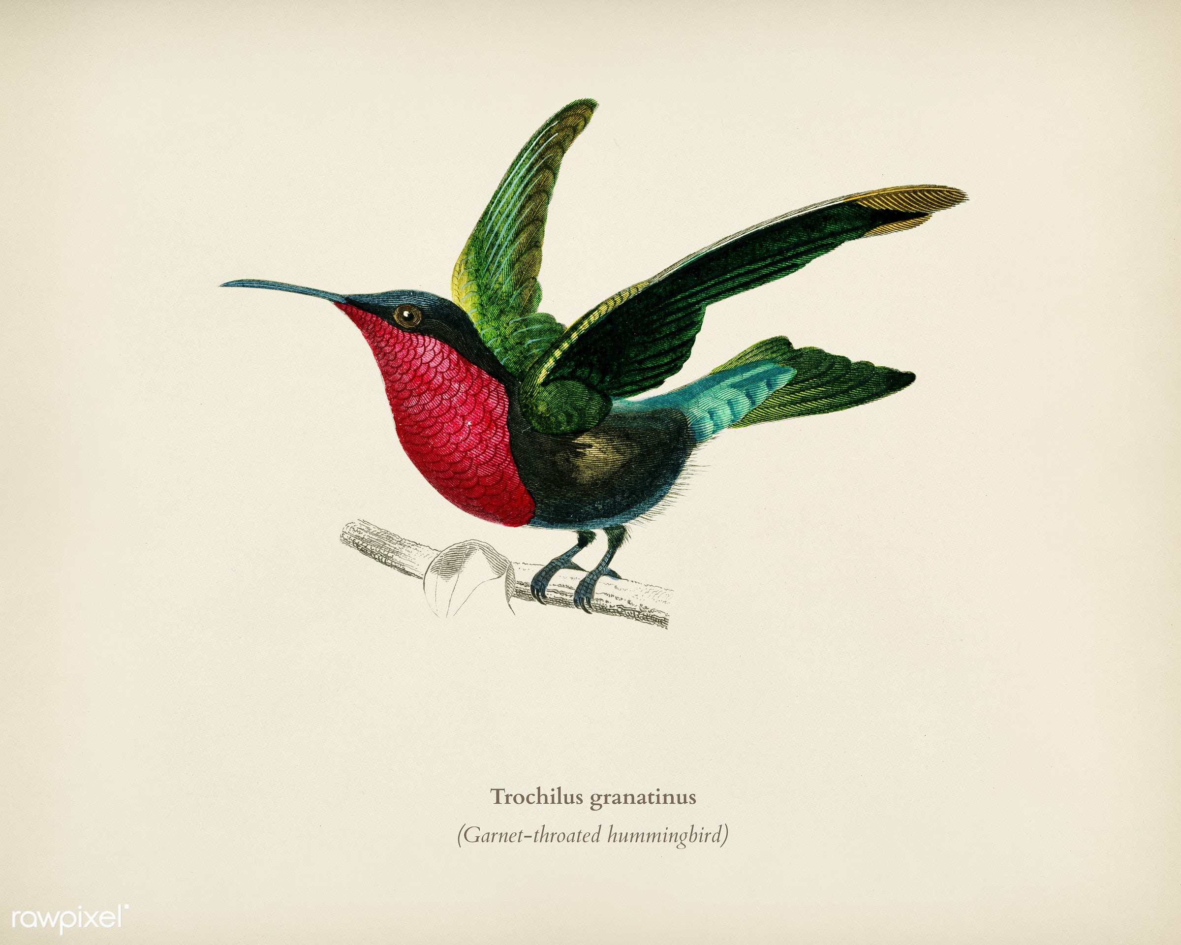Garnet-throated hummingbird (Trochilus granatinus) illustrated by Charles Dessalines D' Orbigny (1806-1876). Digitally...