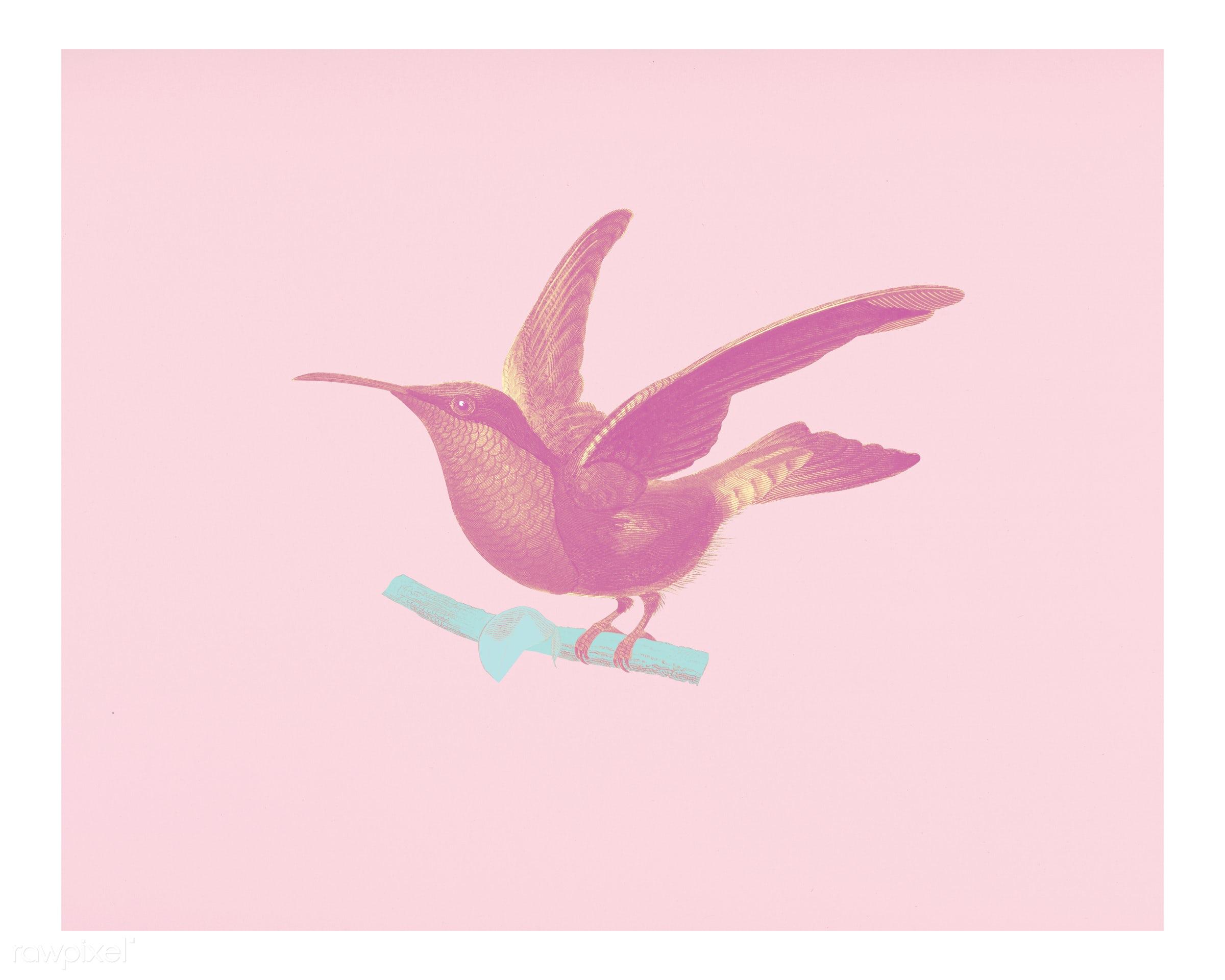 Garnet-throated hummingbird (Trochilus granatinus) illustrated by Charles Dessalines D' Orbigny (1806-1876). Digitally...