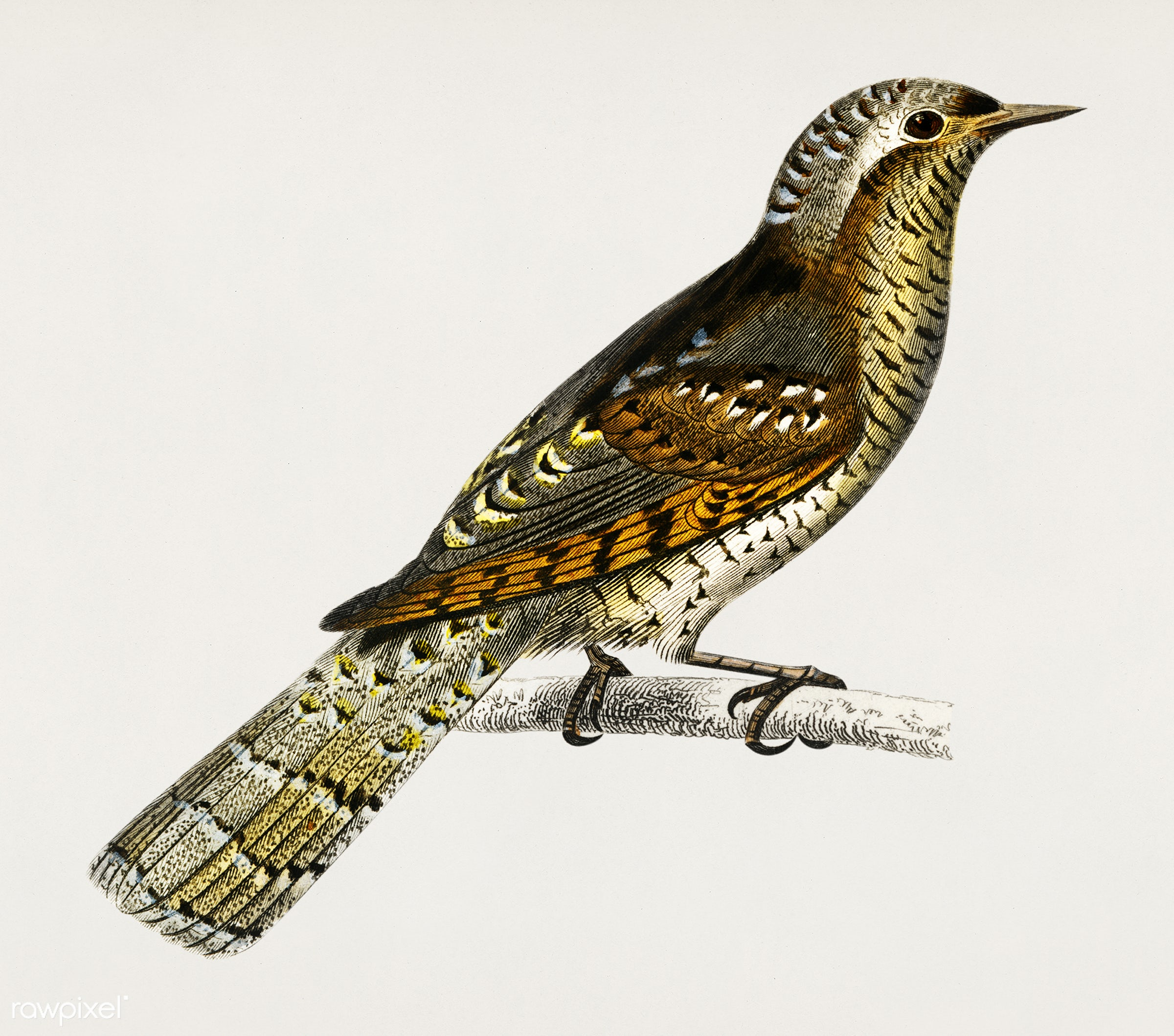 Eurasian wryneck (Corcol d'Europe) illustrated by Charles Dessalines D' Orbigny (1806-1876). Digitally enhanced...