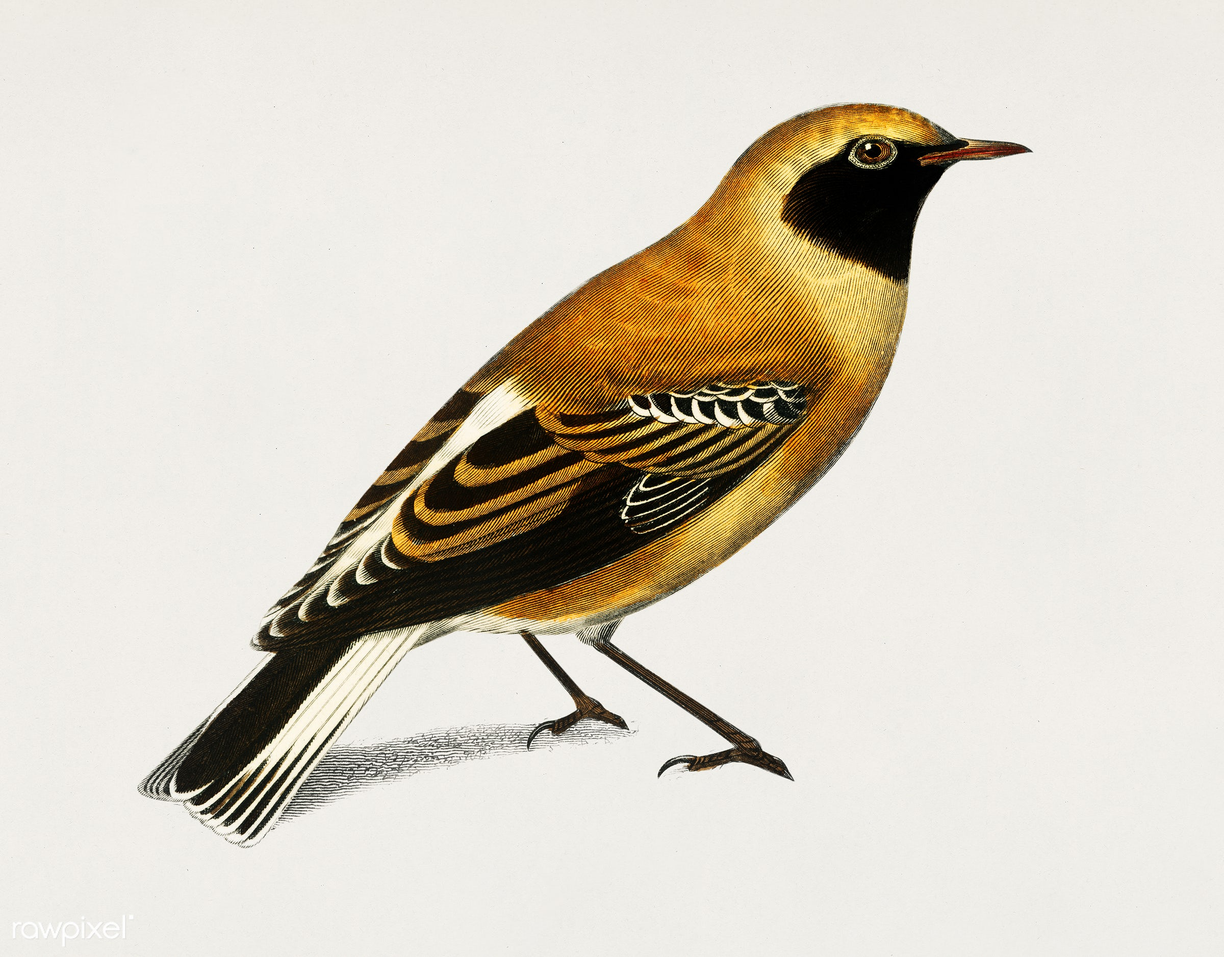 Russet Wheatear (Craquet Stapazin) illustrated by Charles Dessalines D' Orbigny (1806-1876). Digitally enhanced from our...