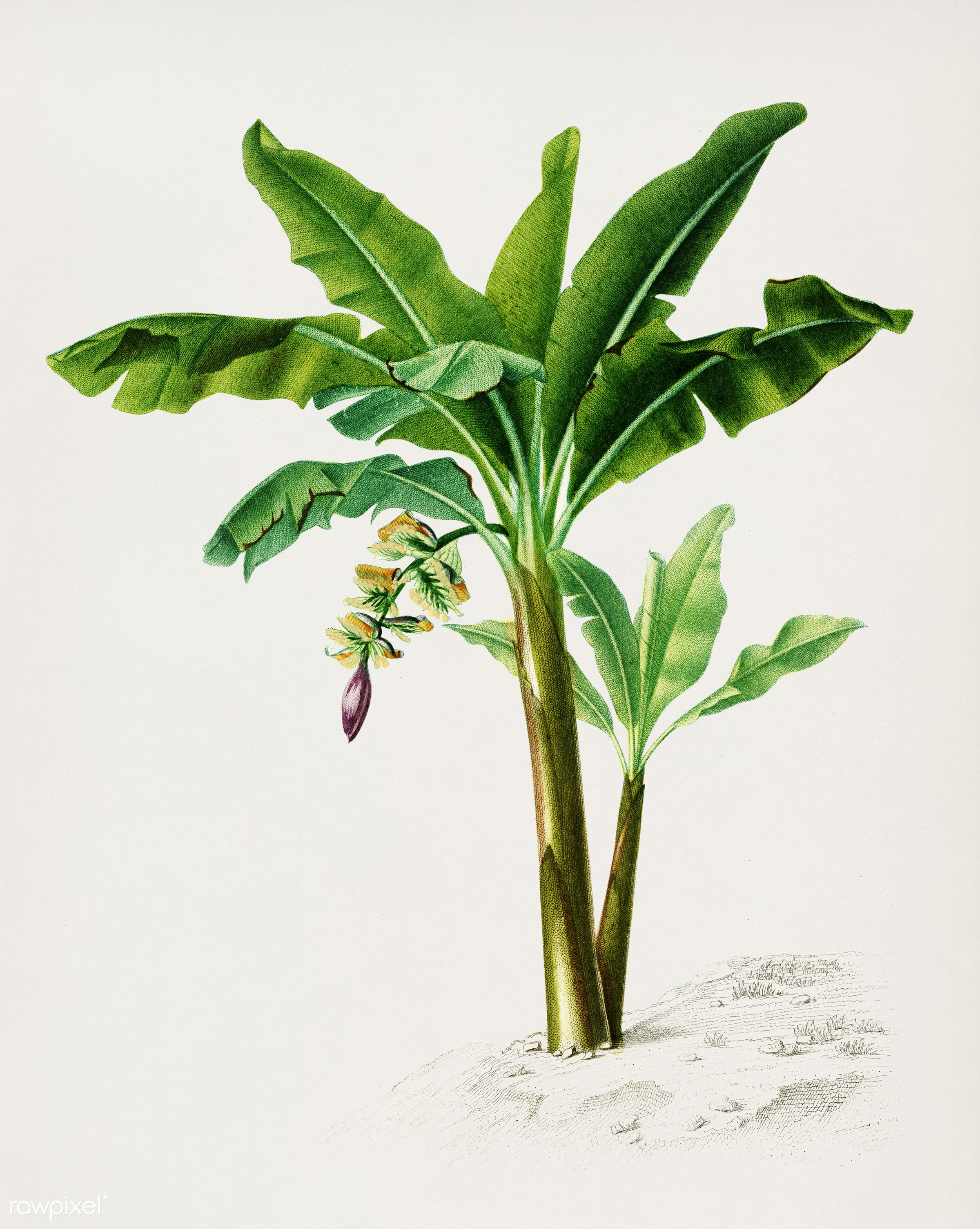 Musa Chinensis illustrated by Charles Dessalines D' Orbigny (1806-1876). Digitally enhanced from our own 1892 edition of...