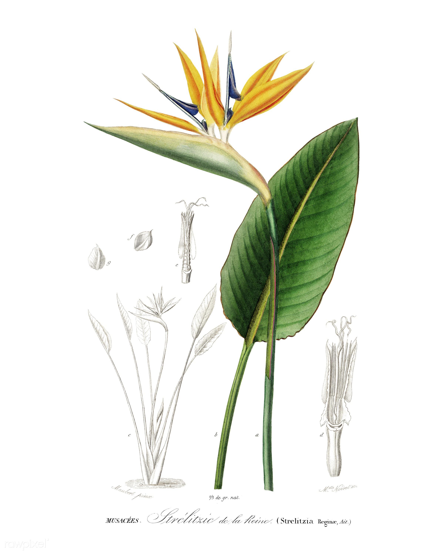 Bird of paradise (Strelitzia Reginae) illustrated by Charles Dessalines D' Orbigny (1806-1876). Digitally enhanced from...