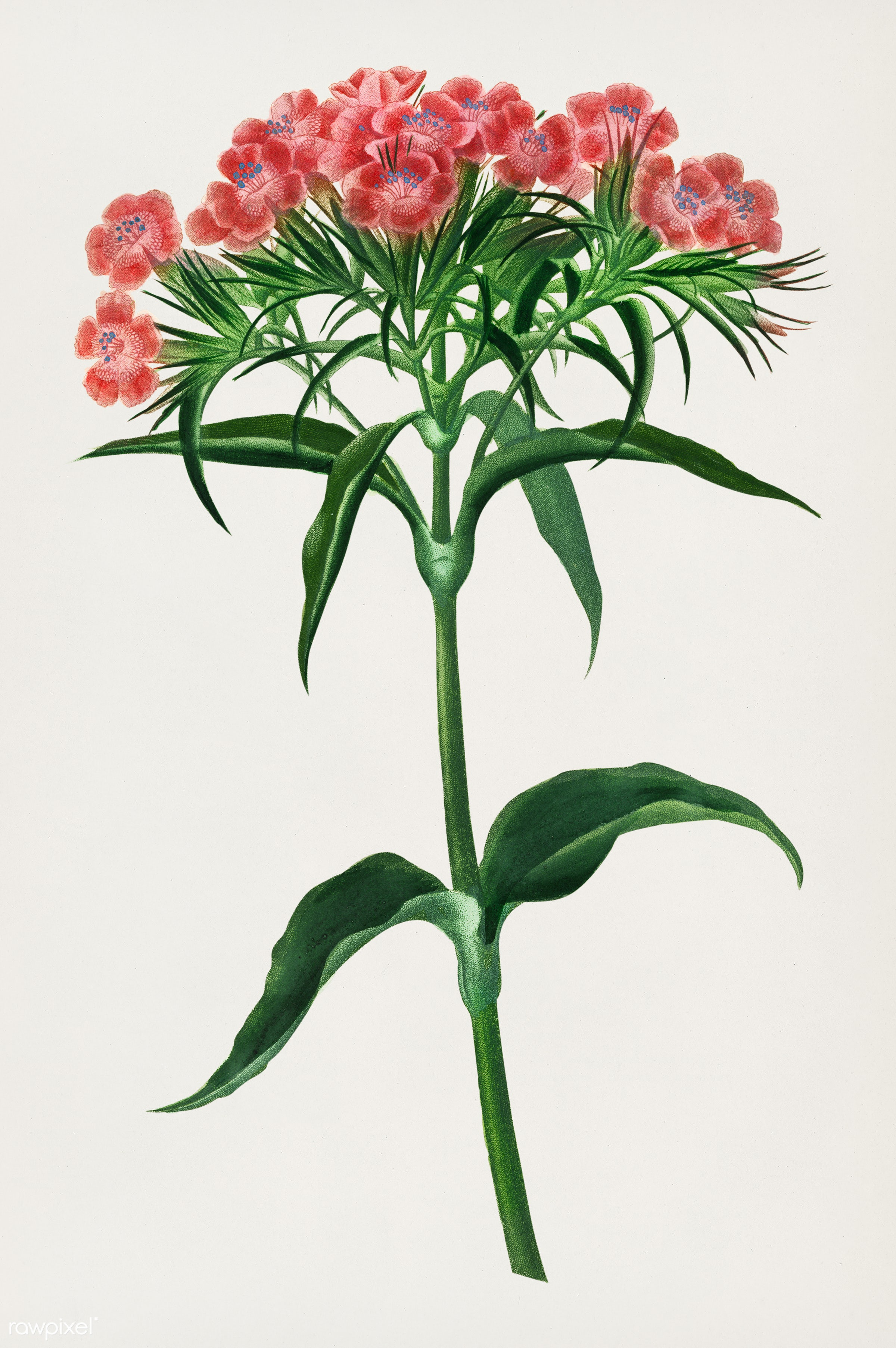 Sweet william (Dianthus barbatus) illustrated by Charles Dessalines D' Orbigny (1806-1876). Digitally enhanced from our...