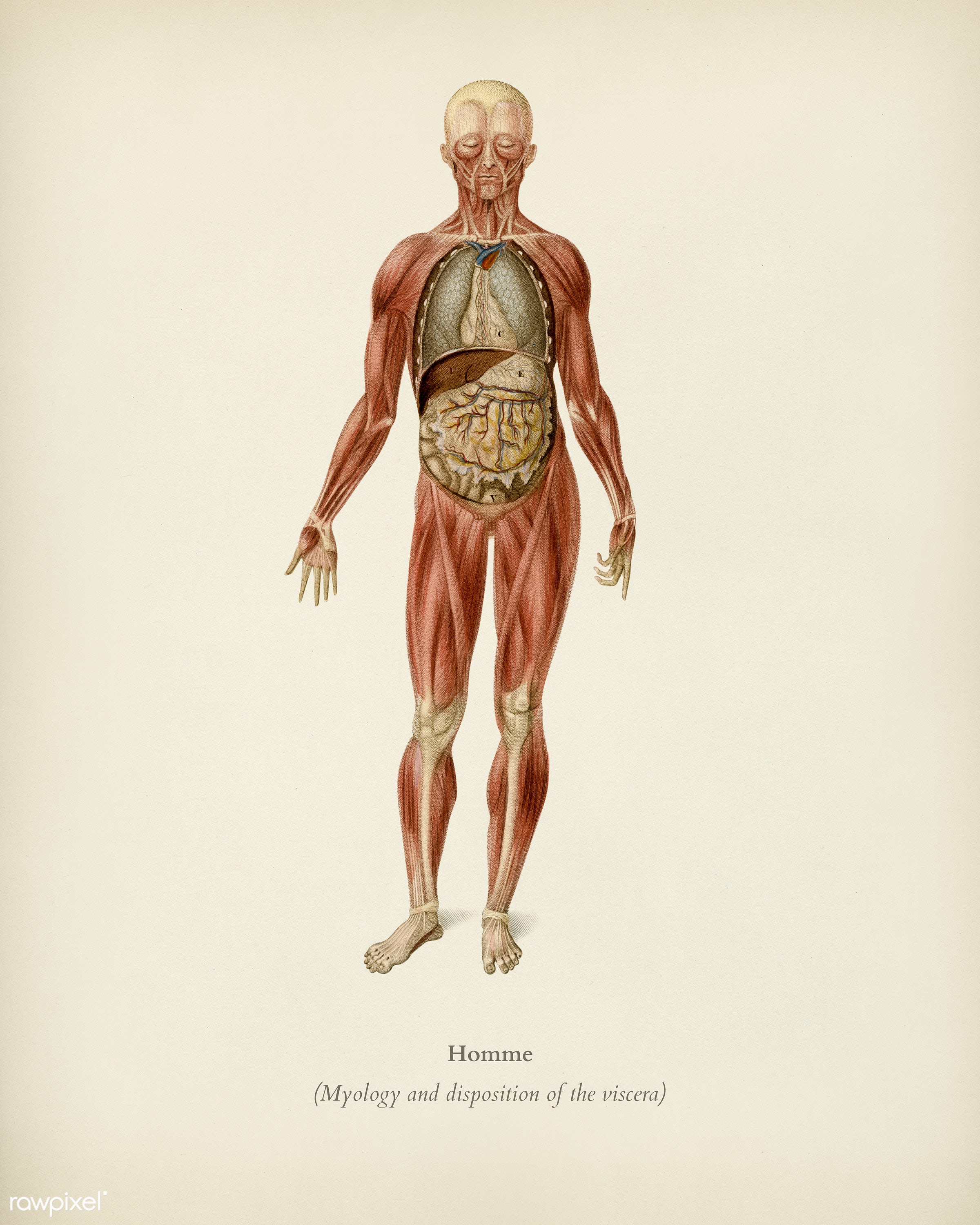 Myology and disposition of the viscera illustrated by Charles Dessalines D' Orbigny (1806-1876). Digitally enhanced from...