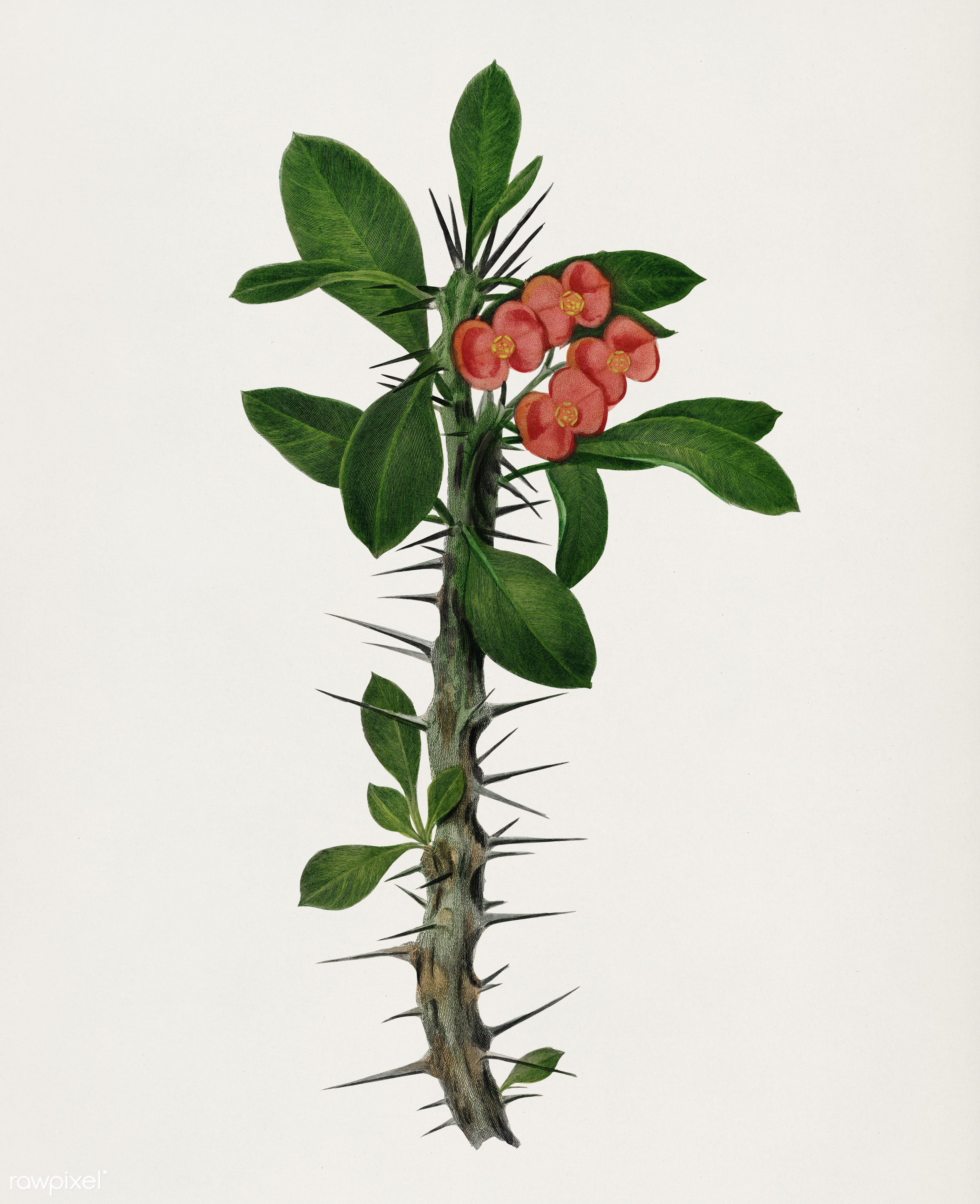 Euphorbia Splendens illustrated by Charles Dessalines D' Orbigny (1806-1876). Digitally enhanced from our own 1892...