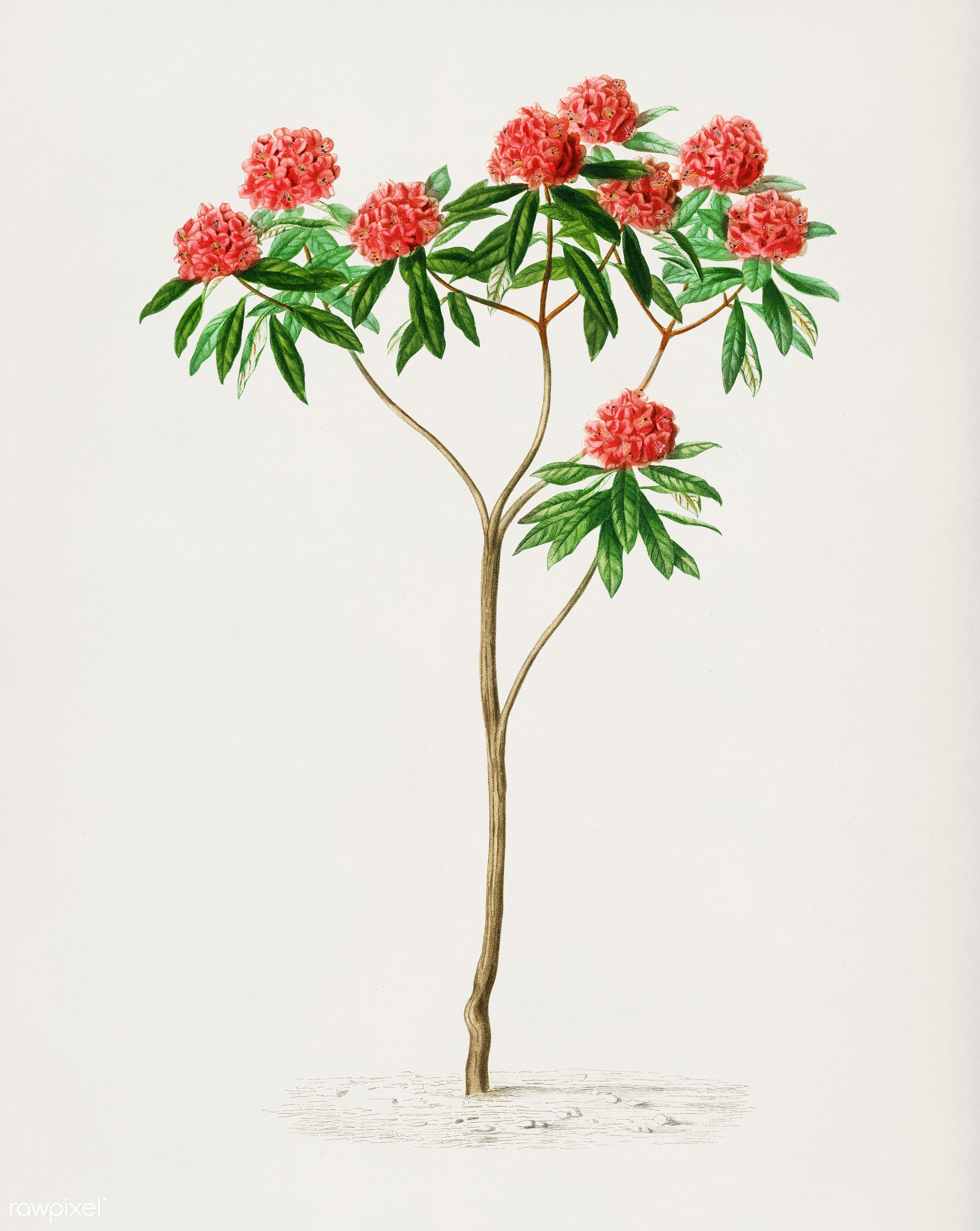 Rhododendron arboreum illustrated by Charles Dessalines D' Orbigny (1806-1876). Digitally enhanced from our own 1892...
