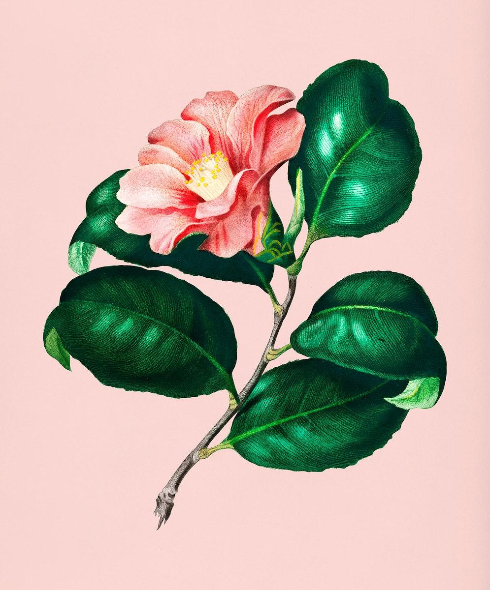 Vintage Illustration of Camellia japonica.