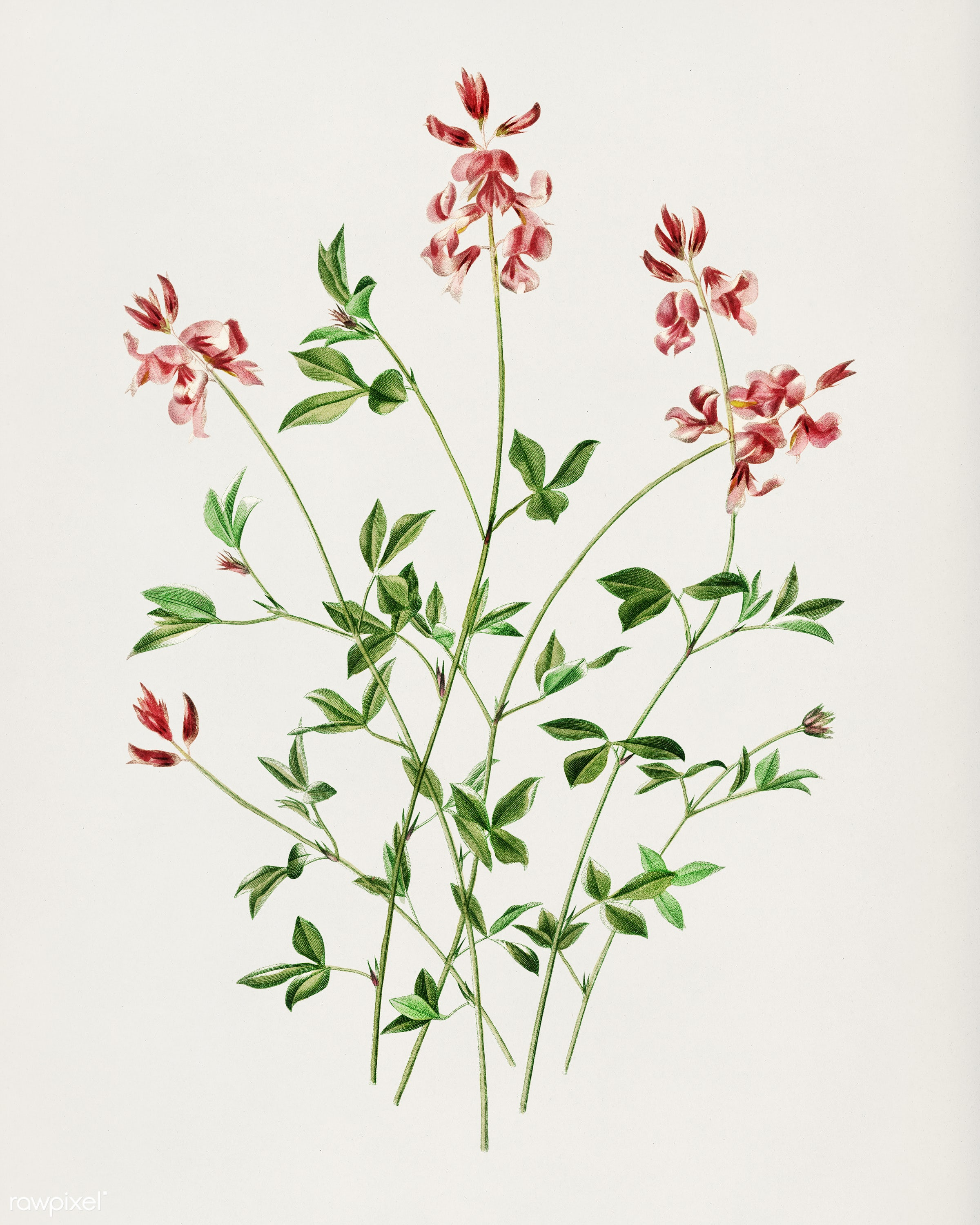 Indigofera procumbens illustrated by Charles Dessalines D' Orbigny (1806-1876). Digitally enhanced from our own 1892...