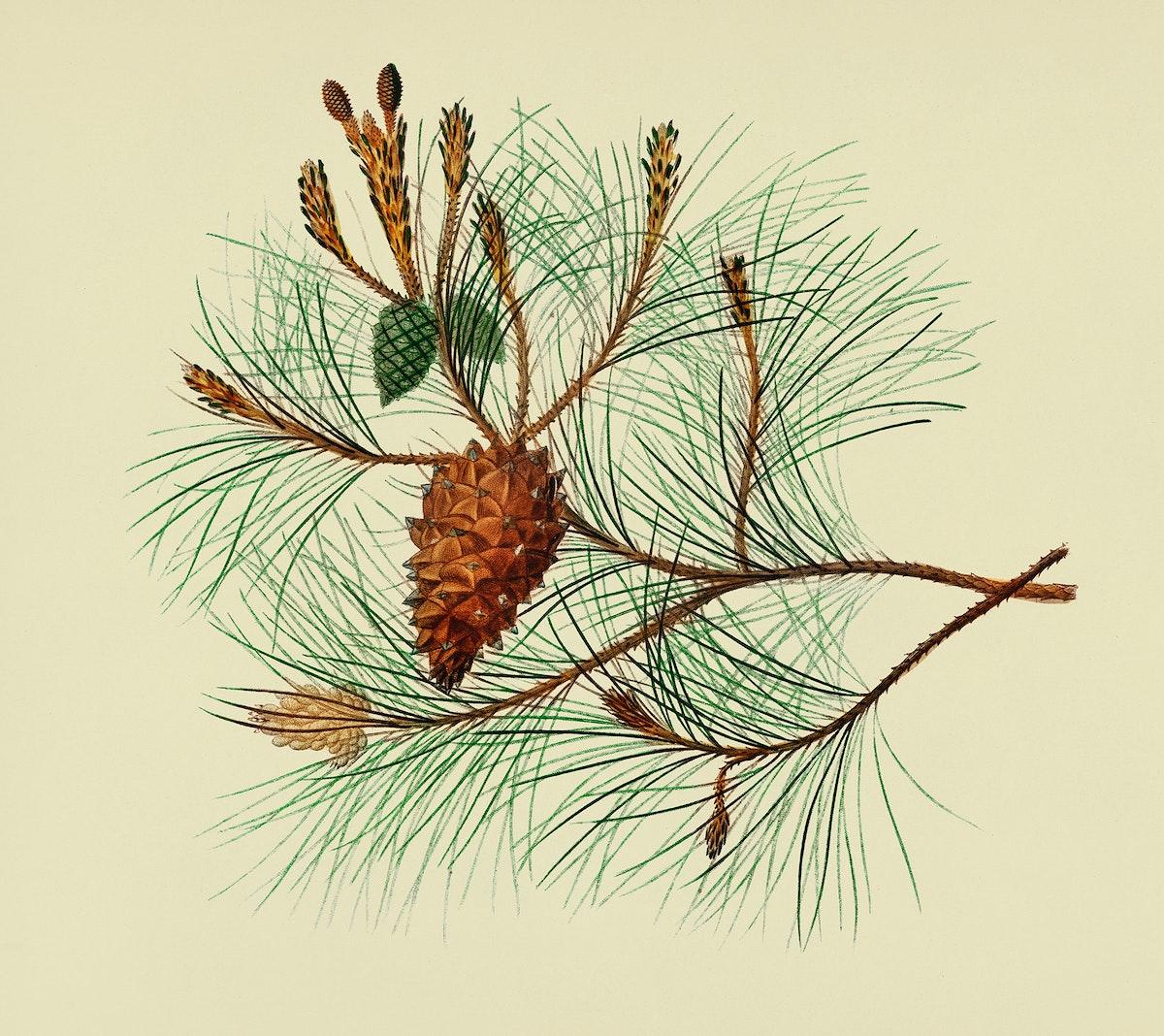 Vintage Illustration of Martime pine.