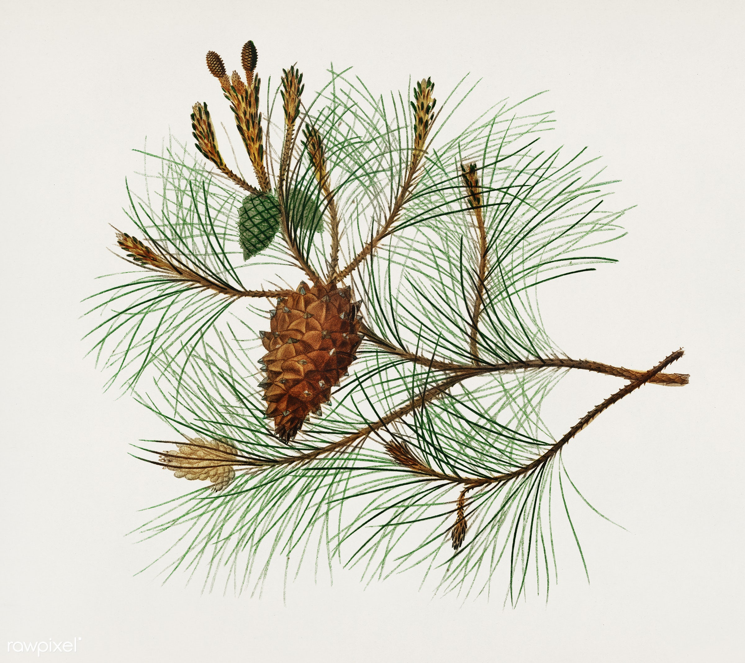 Martime pine (Pinus maritima) illustrated by Charles Dessalines D' Orbigny (1806-1876). Digitally enhanced from our own...