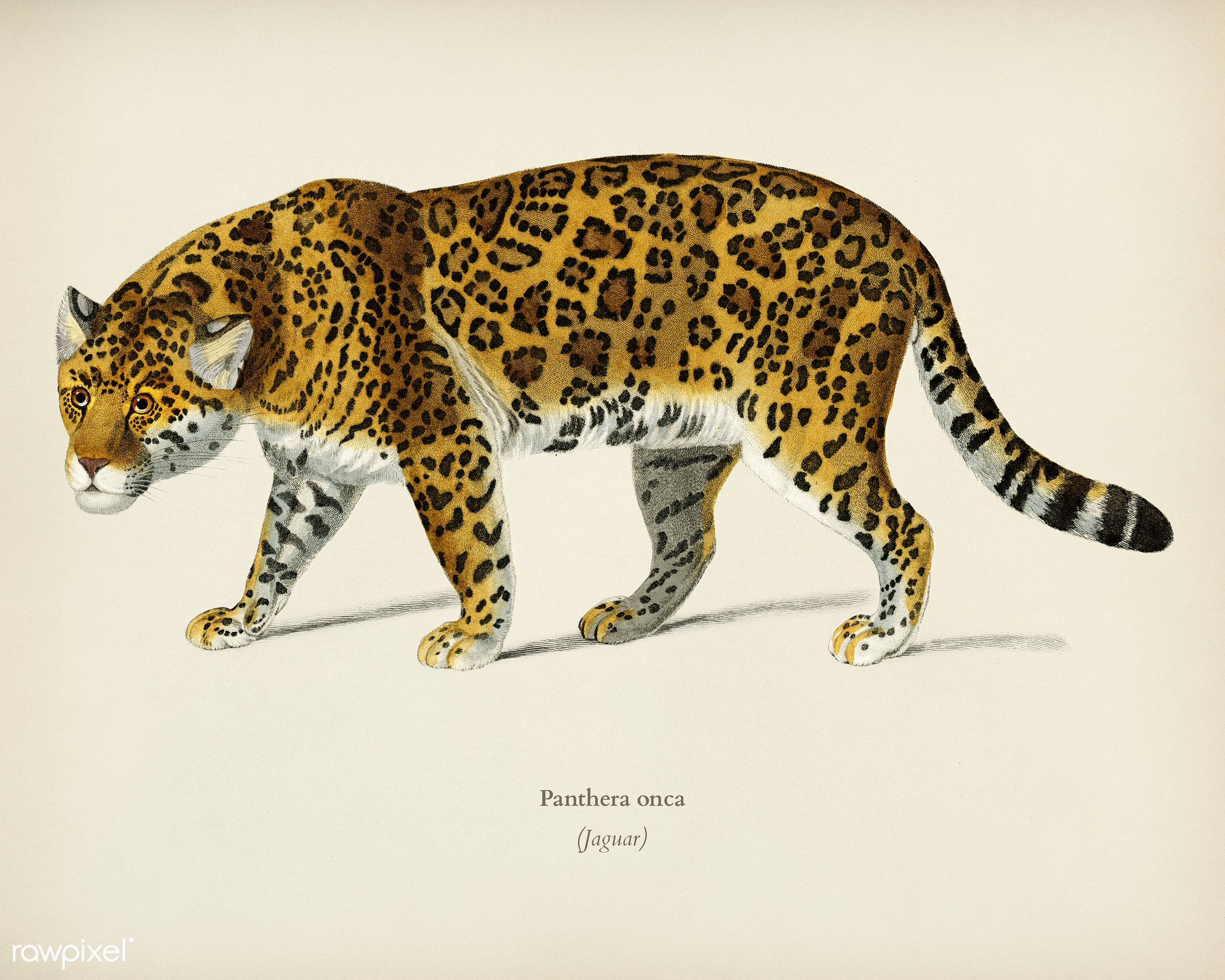 Jaguar (Panthera Onca) illustrated by Charles Dessalines D' Orbigny (1806-1876). Digitally enhanced from our own 1892...