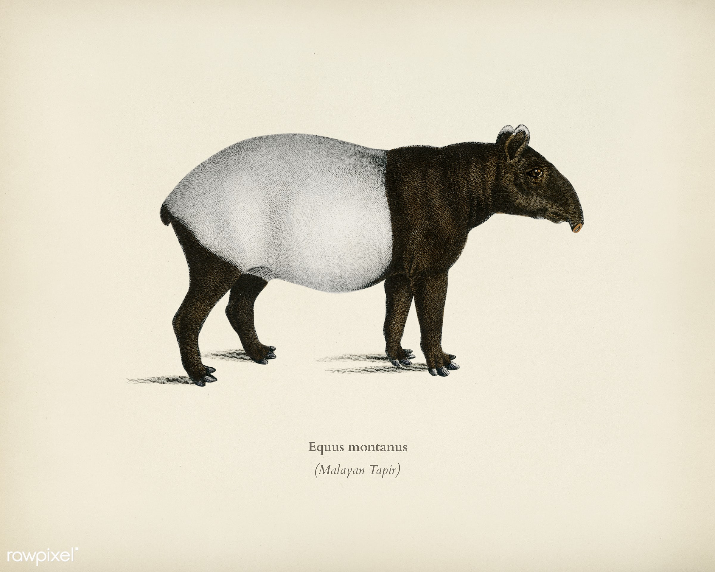 Malayan Tapir (Equus Montanus) illustrated by Charles Dessalines D' Orbigny (1806-1876). Digitally enhanced from our own...