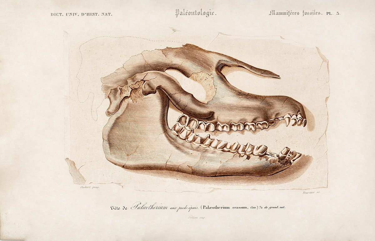 Odd-toed ungulate (Palaeotherium) illustrated by Charles Dessalines D' Orbigny (1806-1876). Digitally enhanced from our own…