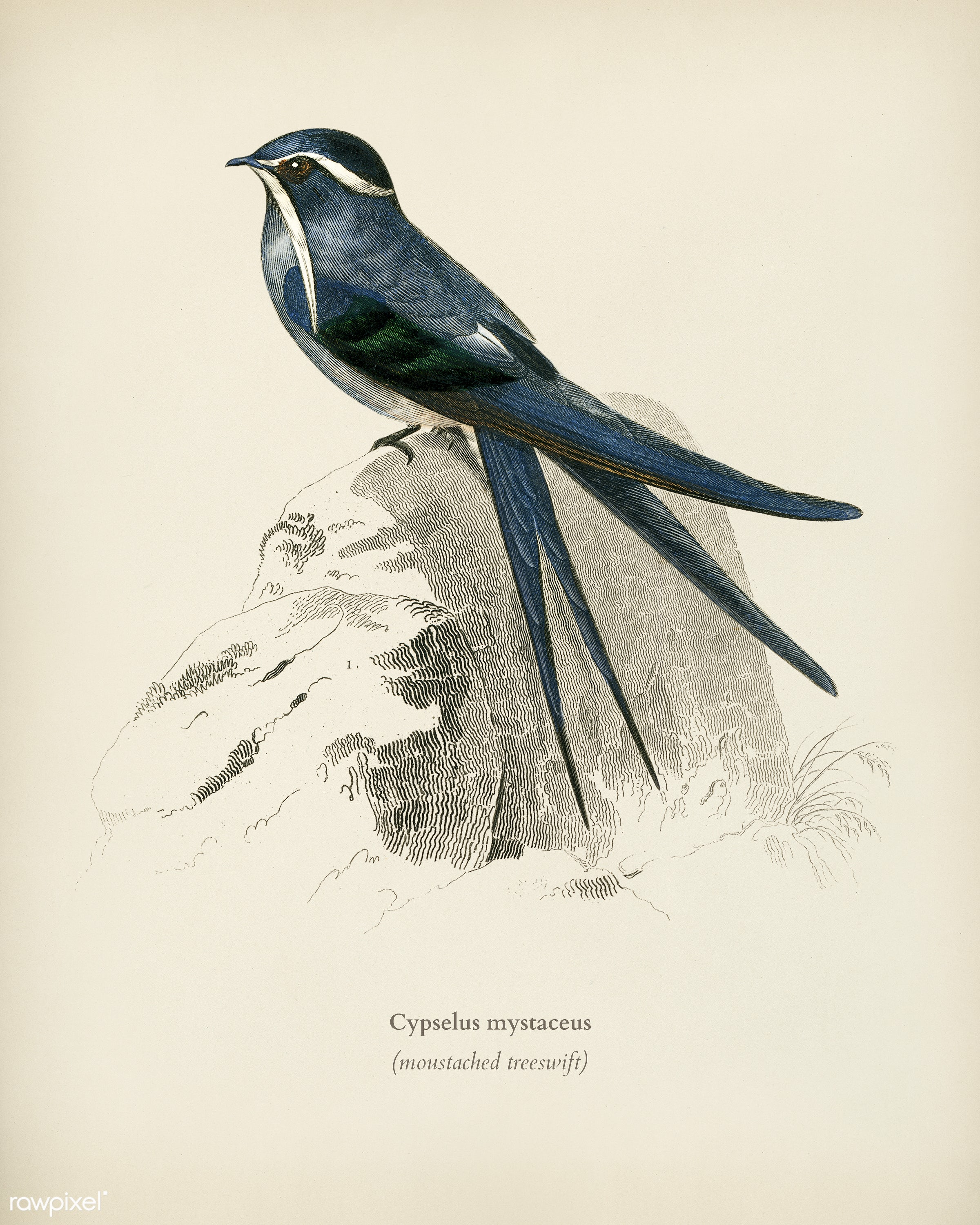 Moustached (Cypselus mystaceus) illustrated by Charles Dessalines D' Orbigny (1806-1876). Digitally enhanced from our...