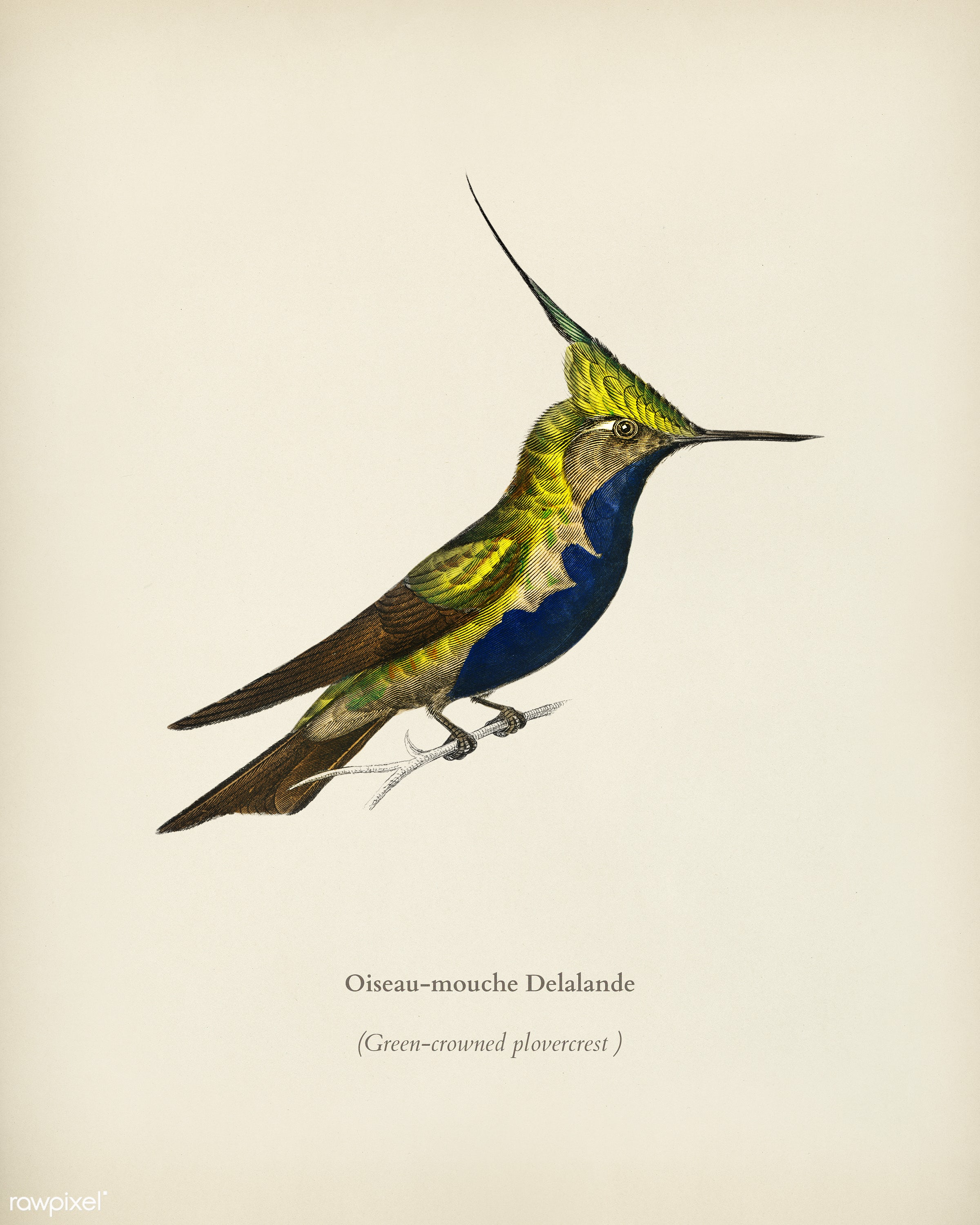 Green-crowned plovercrest (Oiseau-mouche Delalande) illustrated by Charles Dessalines D' Orbigny (1806-1876). Digitally...