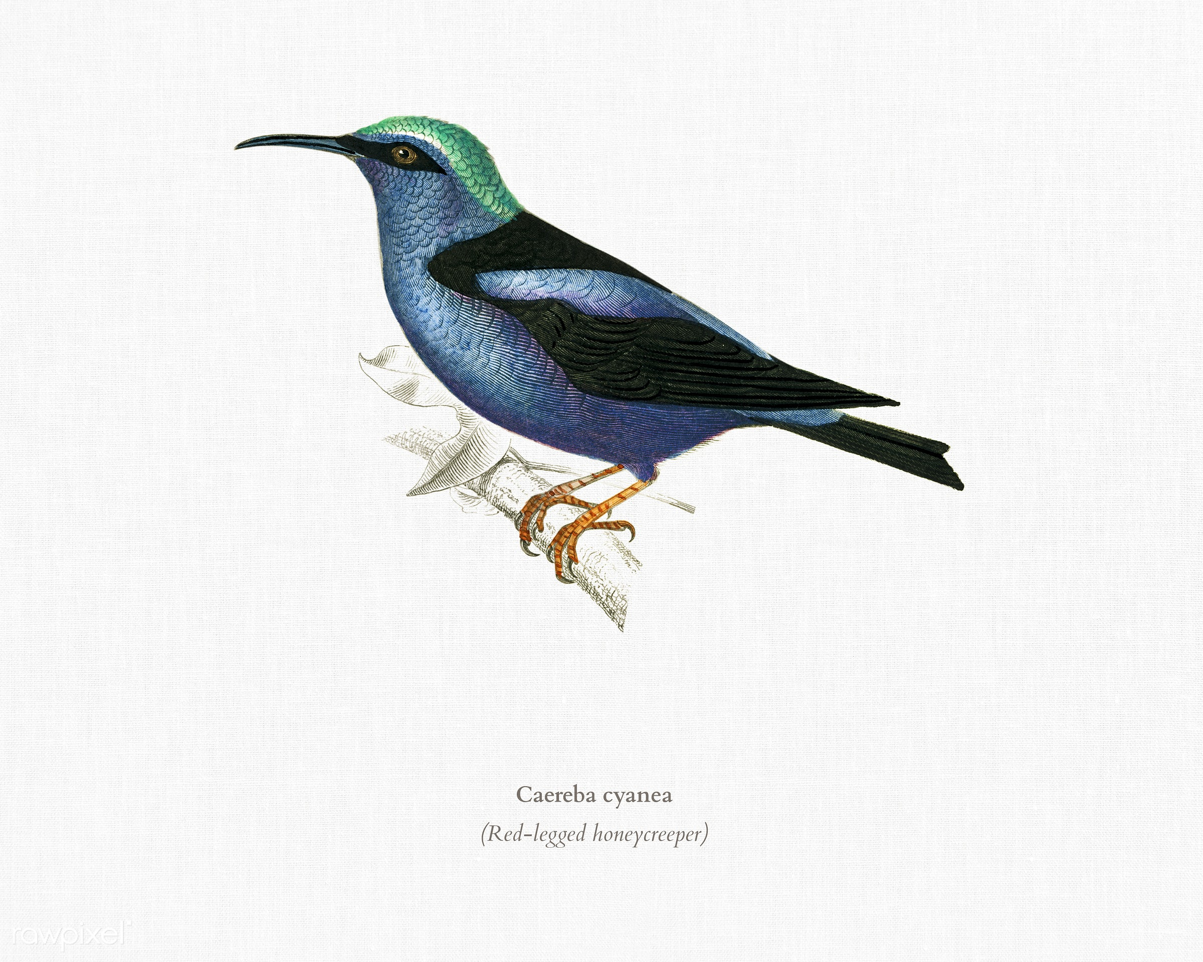 Red-legged honeycreeper (Caereba cyanea) illustrated by Charles Dessalines D' Orbigny (1806-1876) .Digitally enhanced...