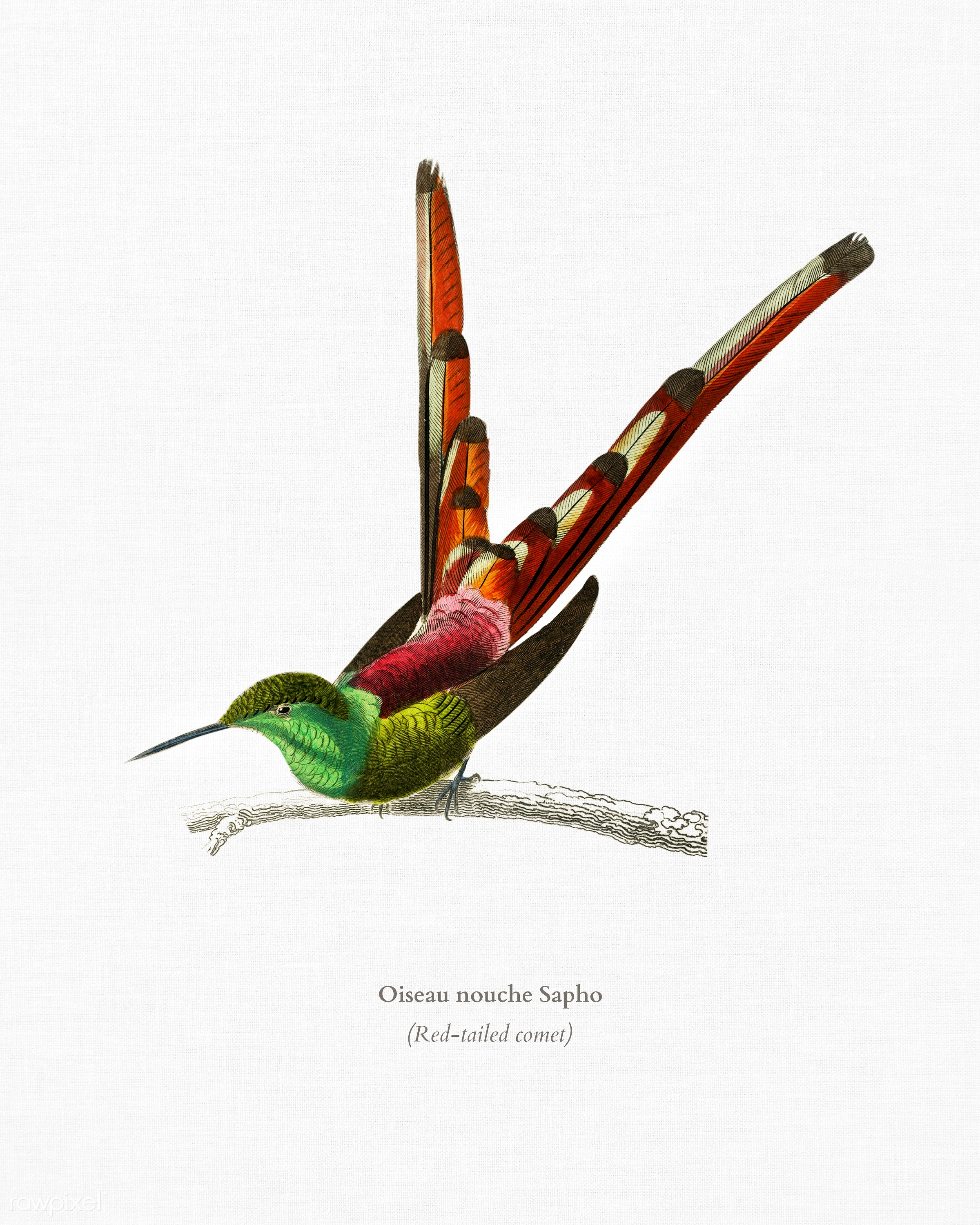 Red-tailed comet (Oiseau nouche Sapho) illustrated by Charles Dessalines D' Orbigny (1806-1876). Digitally enhanced from...