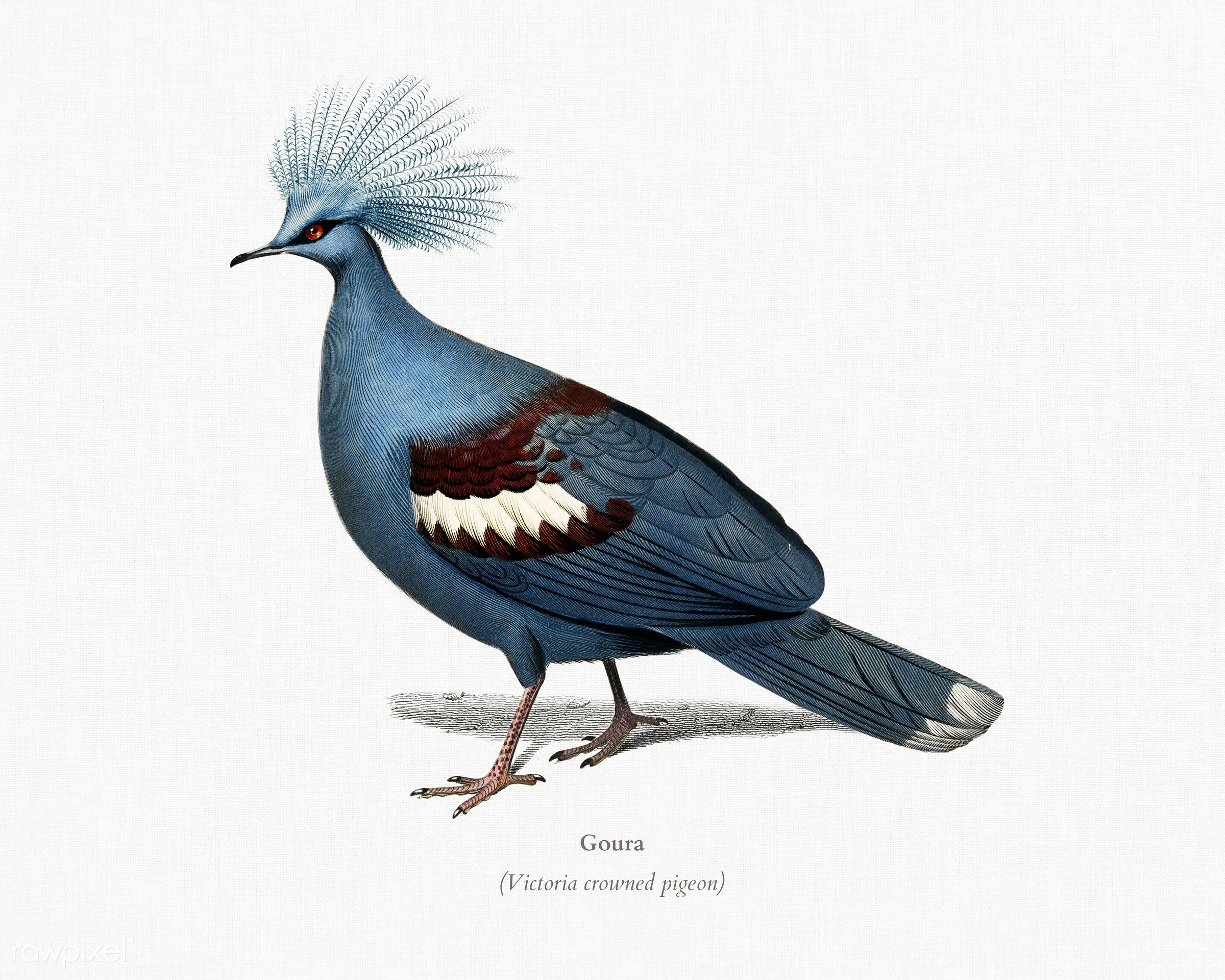 Goura illustrated by Charles Dessalines D' Orbigny (1806-1876). Digitally enhanced from our own 1892 edition of...